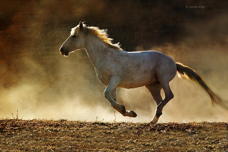 WH601: Gray mare runs at sunset