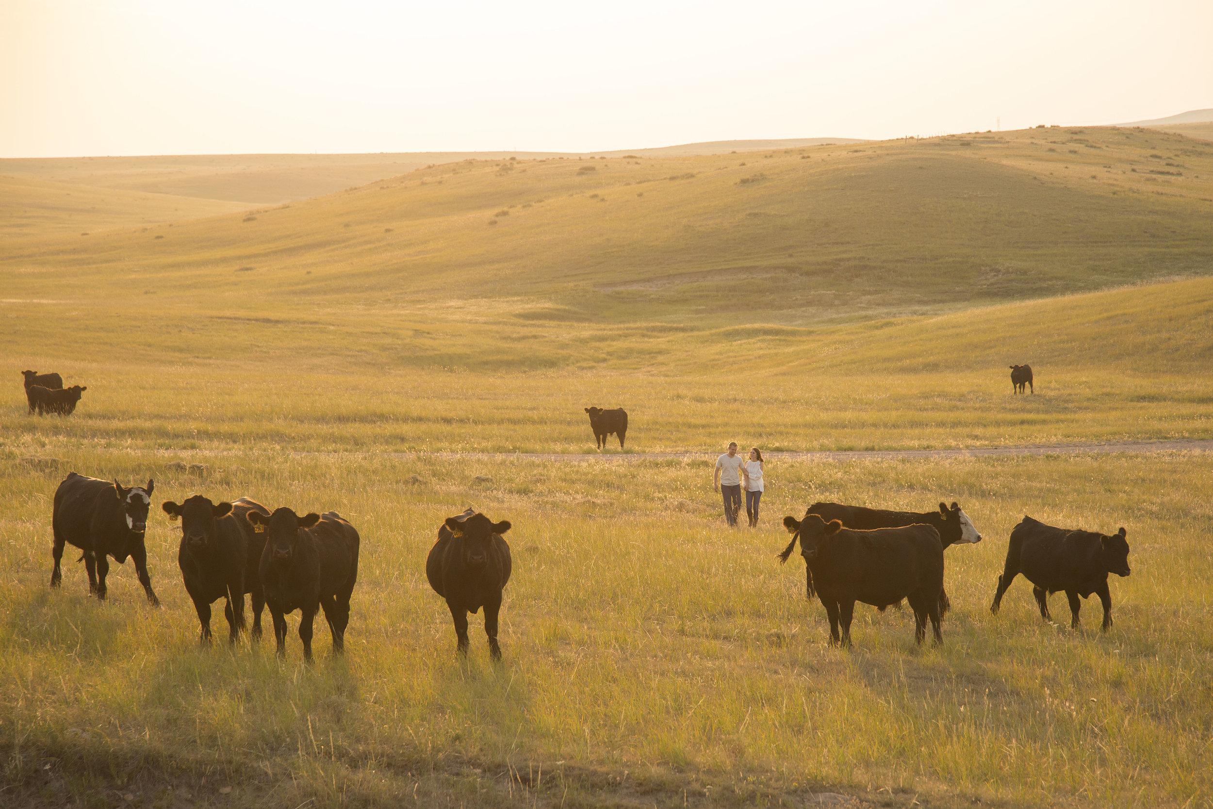 Cows engagement photo