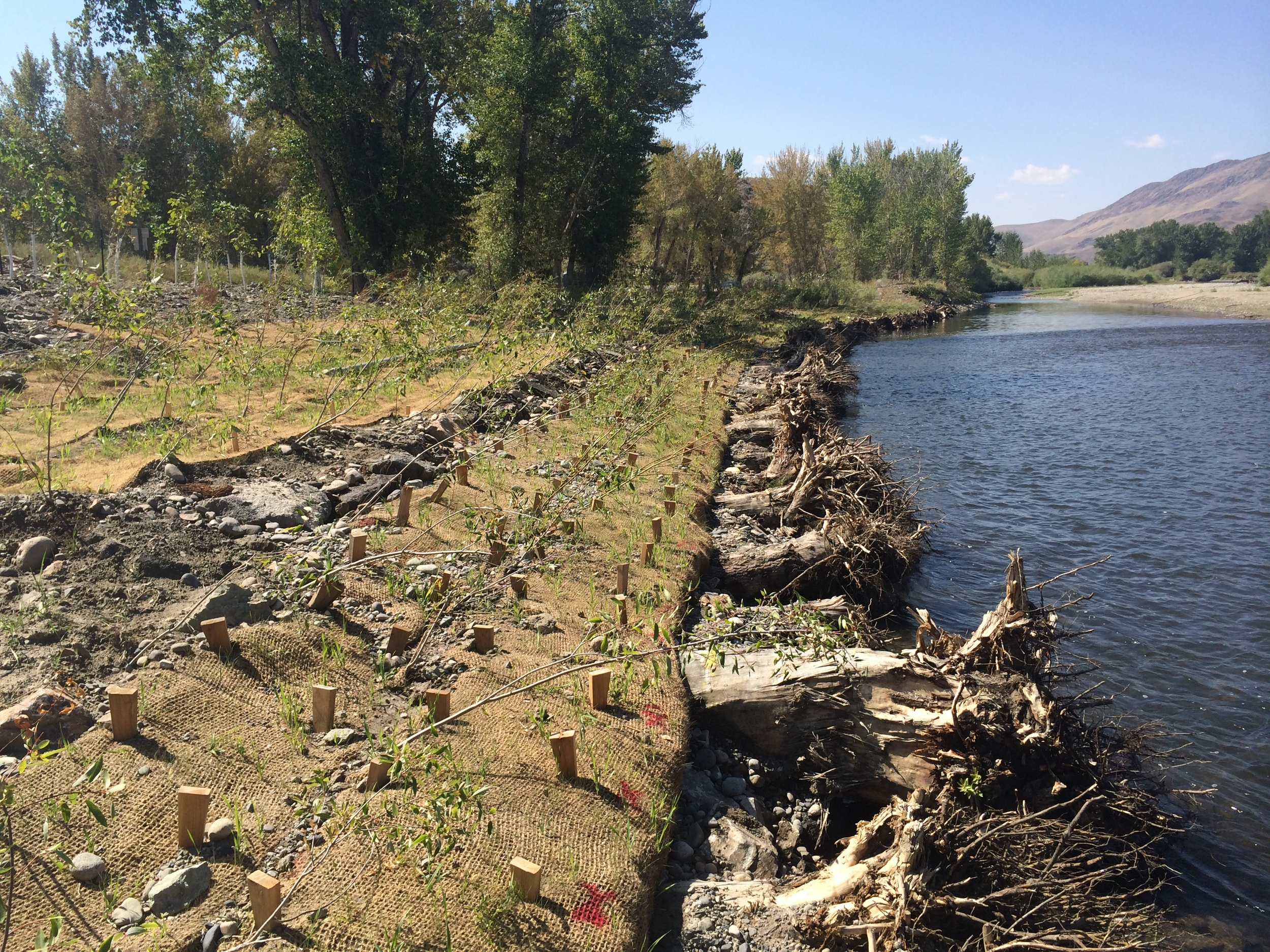 Stream restoration bank stabilized by logs with rootwads, erosion control fabric, and willow plantings