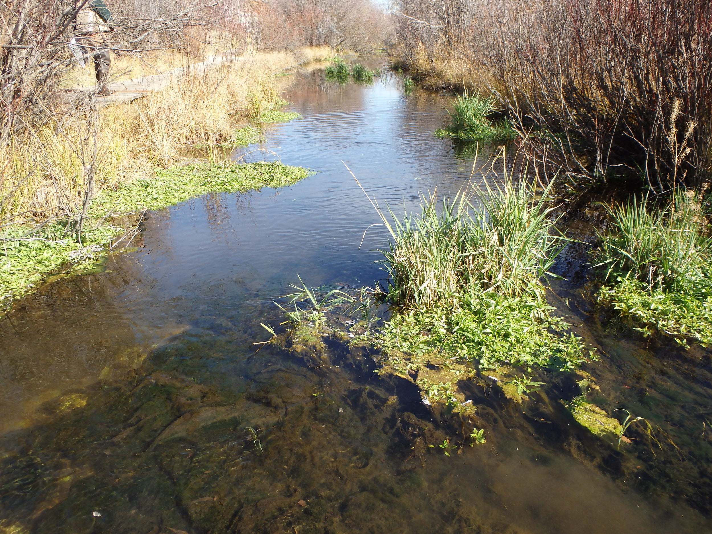 Before - the wide, slow creek offers no juvenile trout cover except clumps of invasive grasses