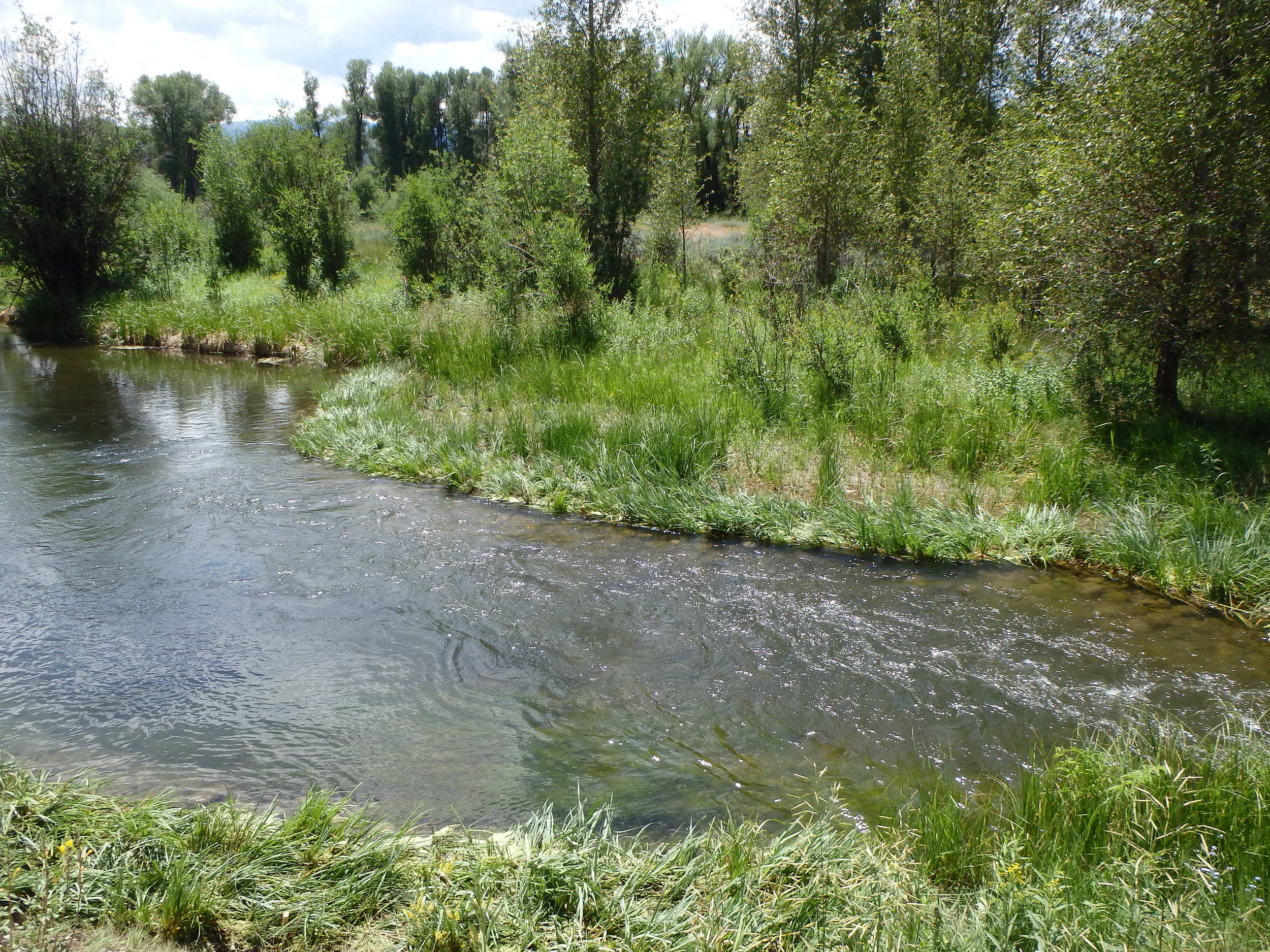 Summer 2015 - The point bar and shelf are revegetated with native wetland species