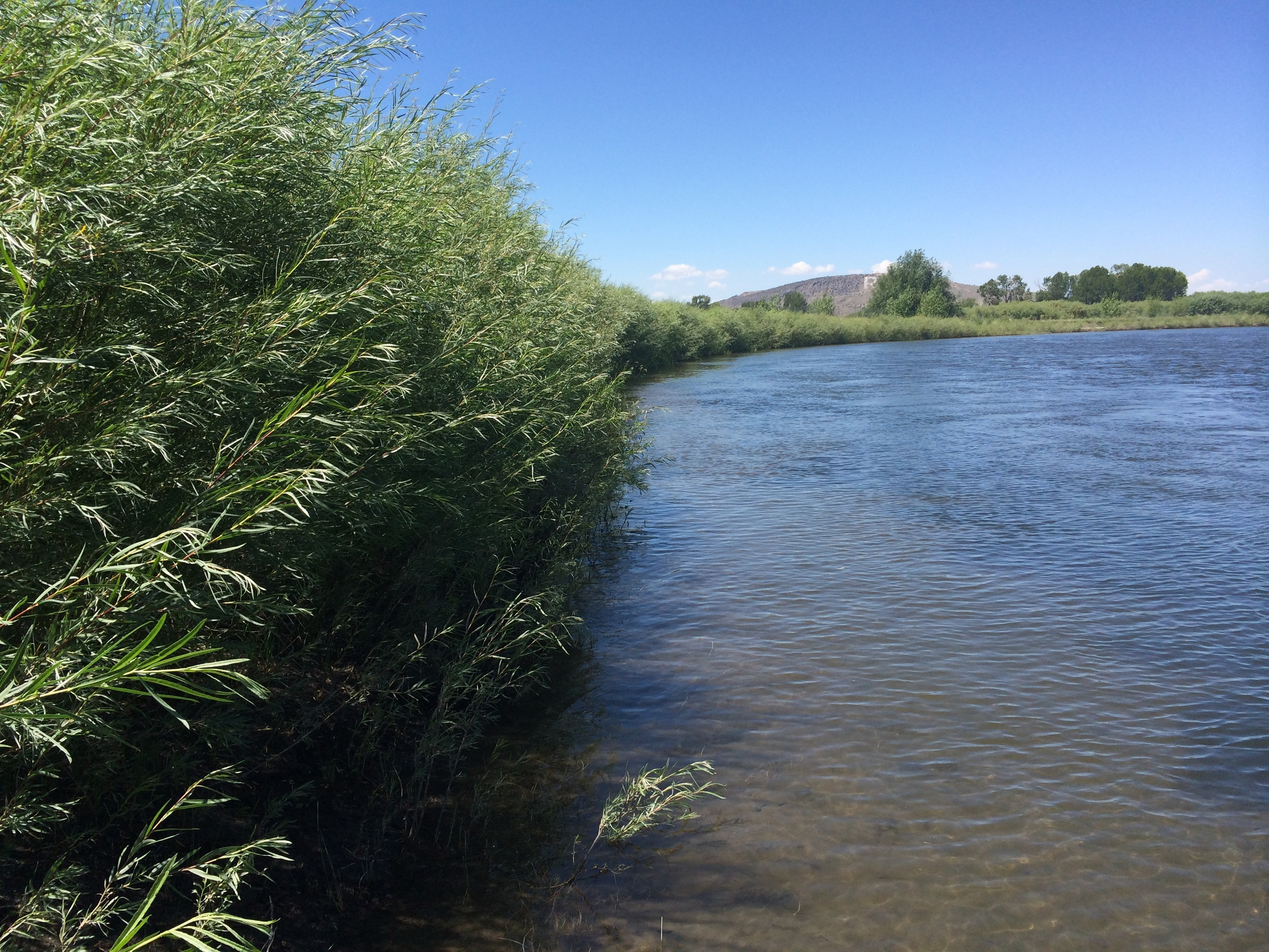 Dense willows growing along a bank that was eroding and unstable prior to construction