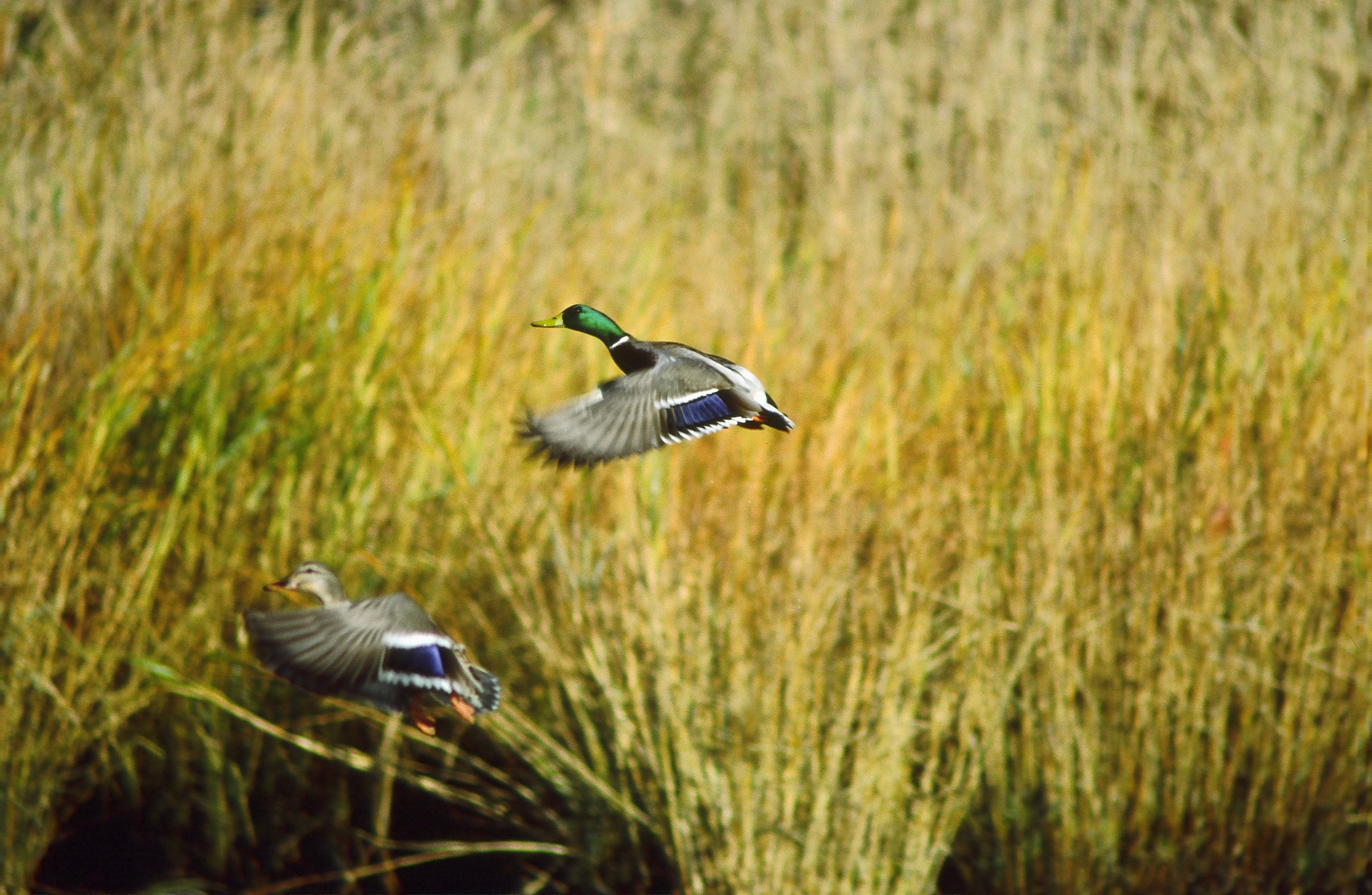 wetland environmental consulting waterfowl