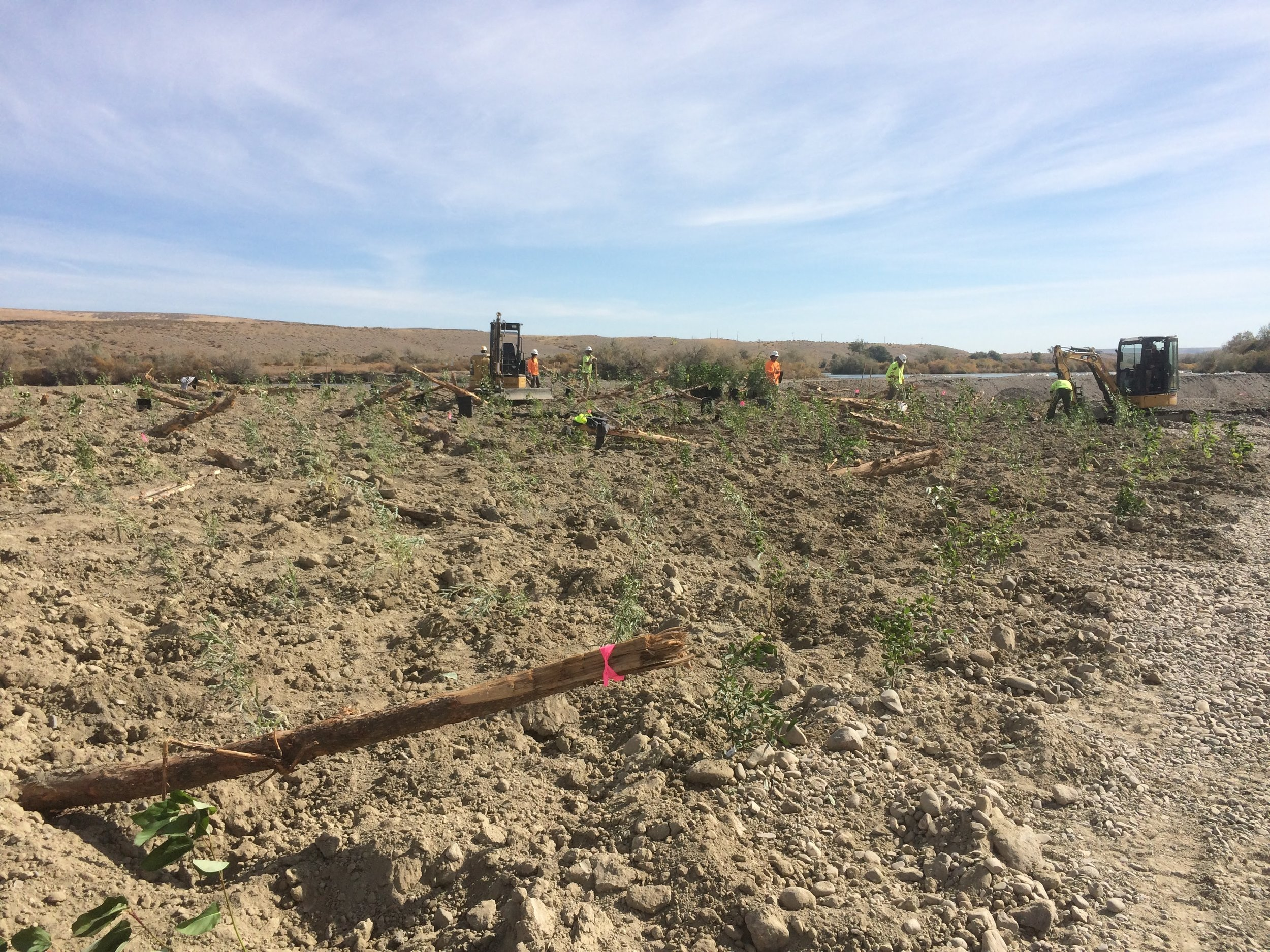 Crews worked to plant around pre-installed floodplain roughness - logs keyed into the created floodplain for stability and microtopography.