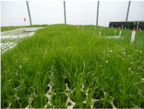 Carex spp  grown in flats at North Fork Native Plant Nursery.