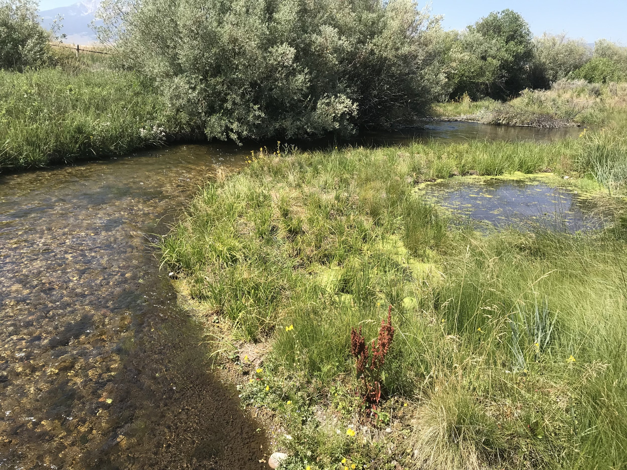 Constructed and re-vegetated point bar narrows the creek and directs flow into the shaded pool under an existing willow