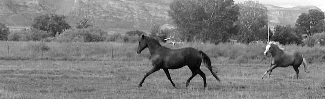 bw horses running.jpg