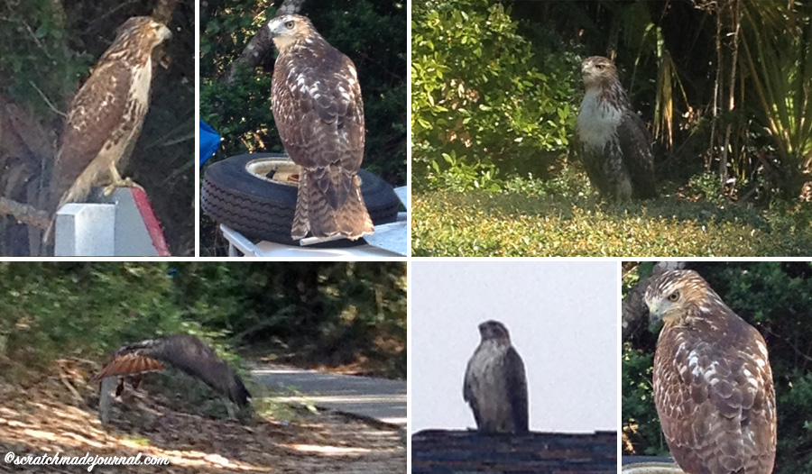 A few photos of the local Red-tailed Hawks - scratchmadejournal.com