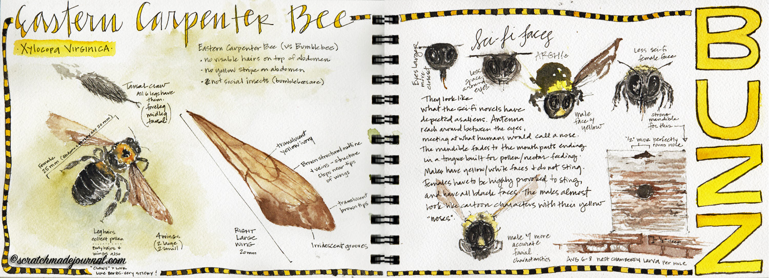 carpenter bee watercolor sketches - scratchmadejournal.com