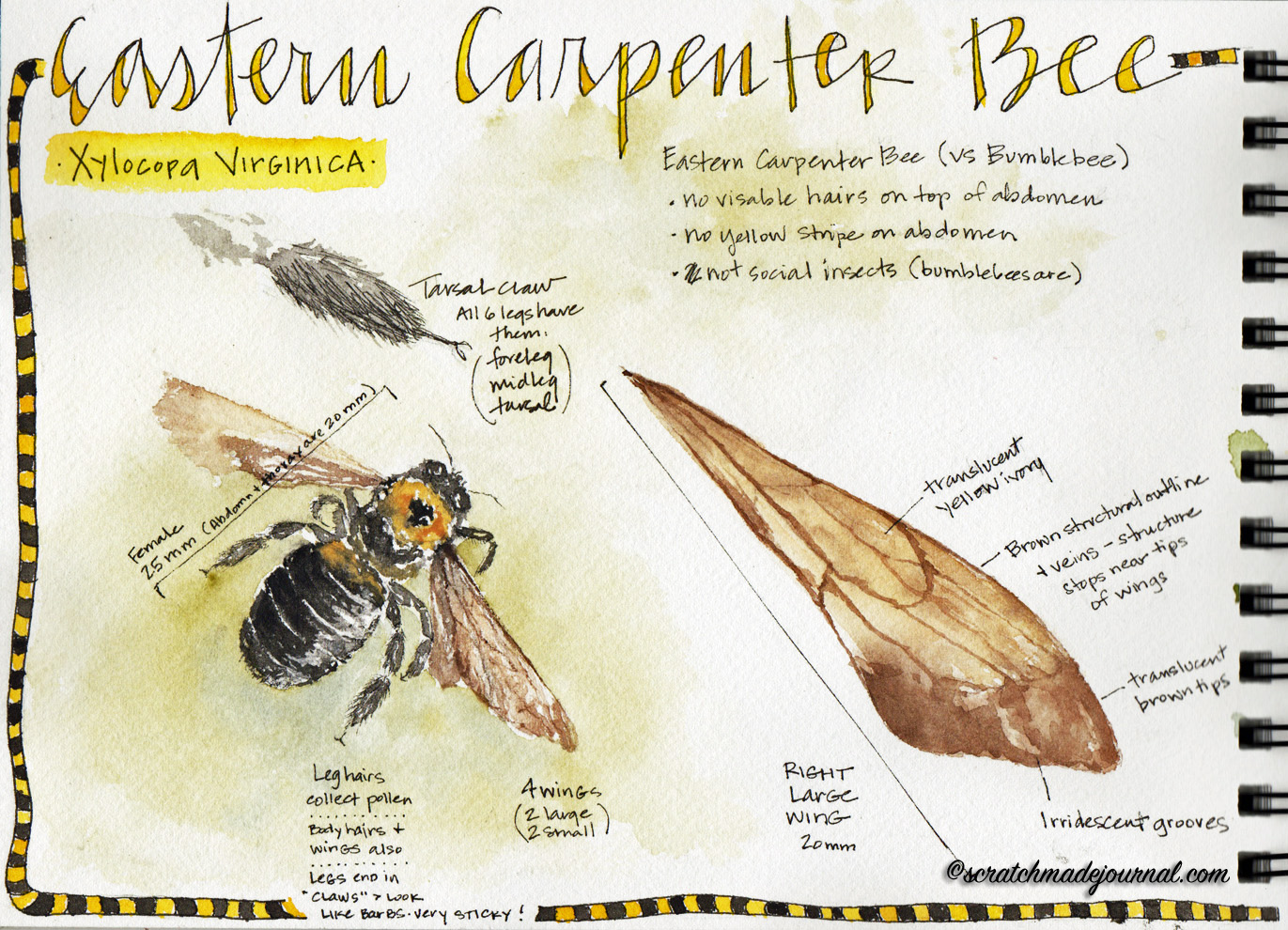 Sketching the Lowly Carpenter Bee - scratchmadejournal.com