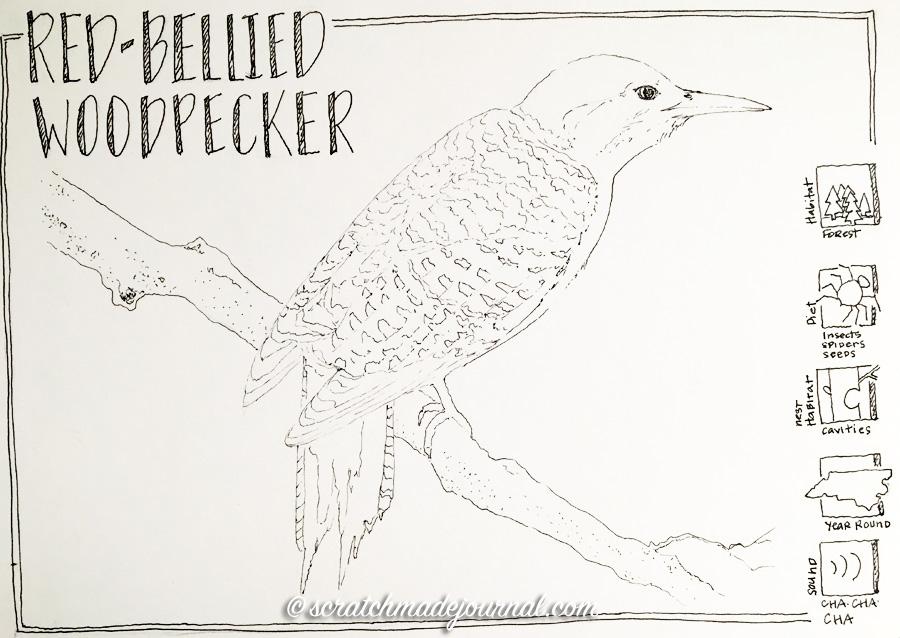 Red-bellied woodpecker sketch 2 ©scratchmadejournal.jpg
