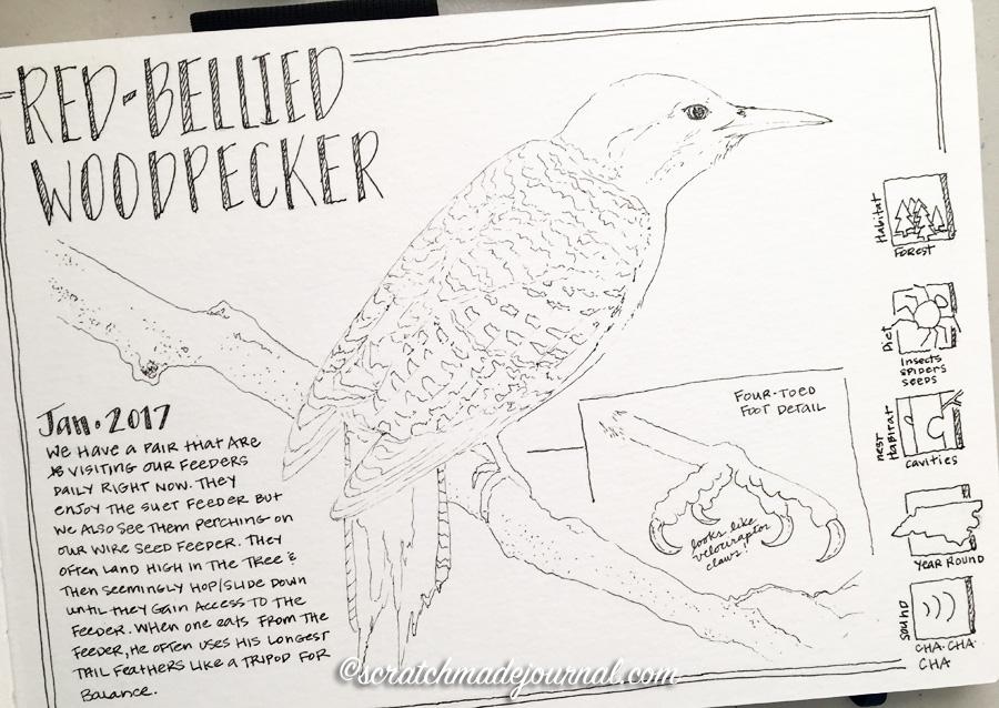 Red-bellied woodpecker sketch 3 ©scratchmadejournal.jpg