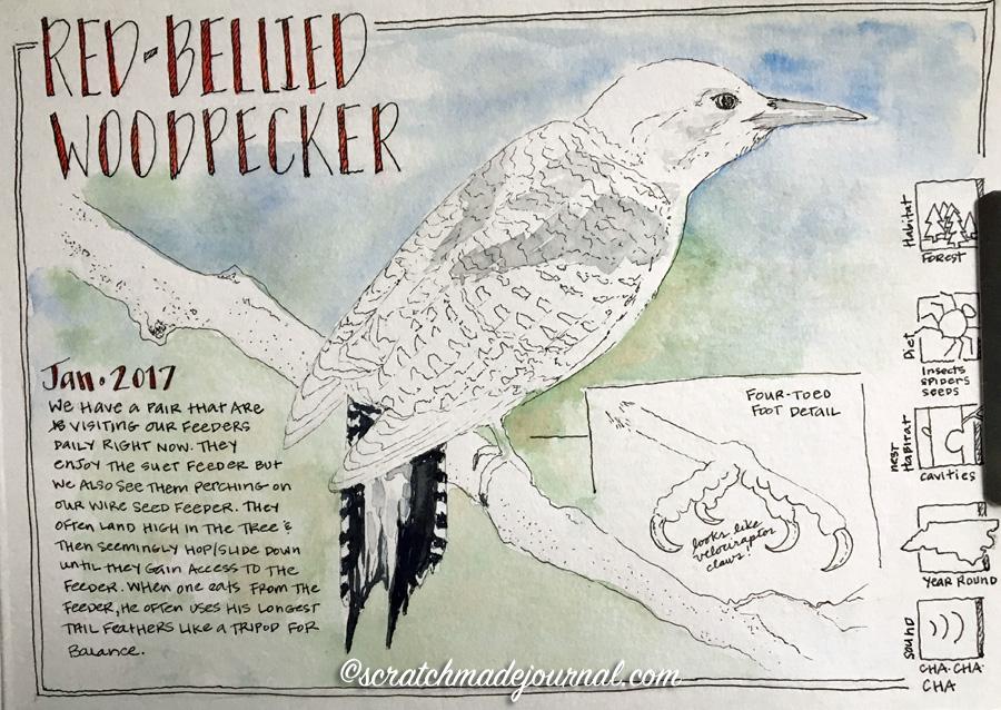Red-bellied woodpecker sketch 4 ©scratchmadejournal.jpg