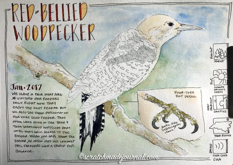 Red-bellied woodpecker sketch 5 ©scratchmadejournal.jpg