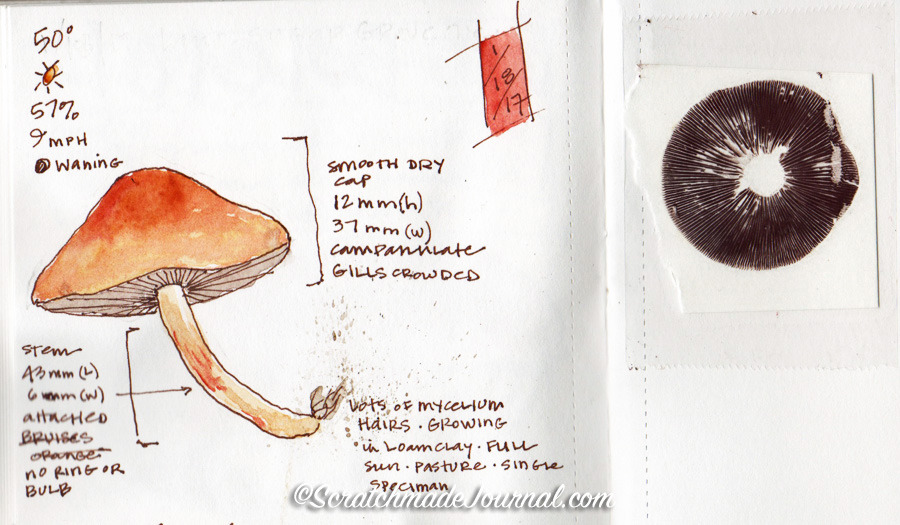 A snippet from my mycology notebook sketched on Midori's #012 paper. I've also made spore prints directly onto this paper, and it works just fine.