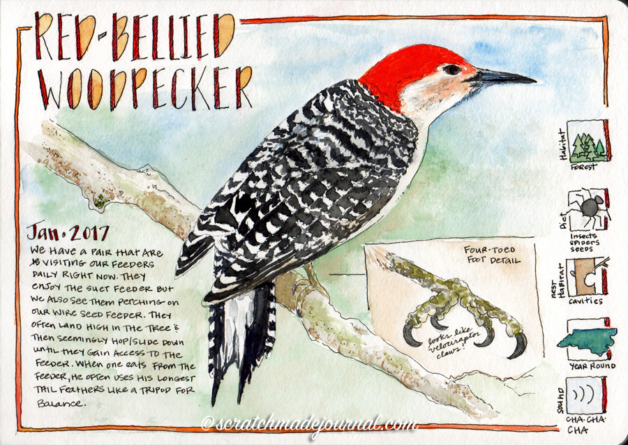 Red-bellied woodpecker watercolor sketch ©scratchmadejournal.jpg