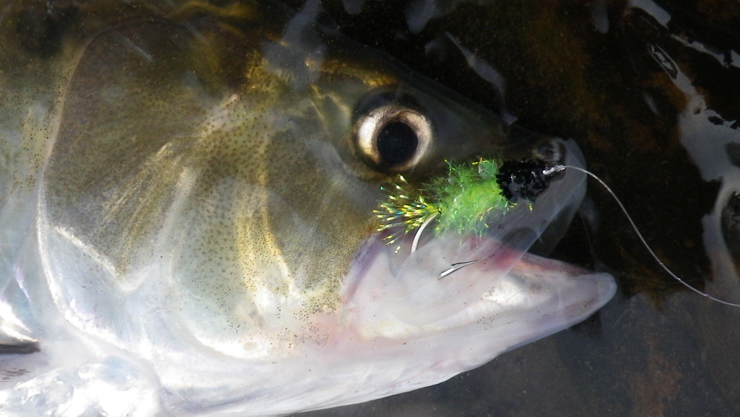 American Shad are a hard fighting gamefish well suited for fly fishing.