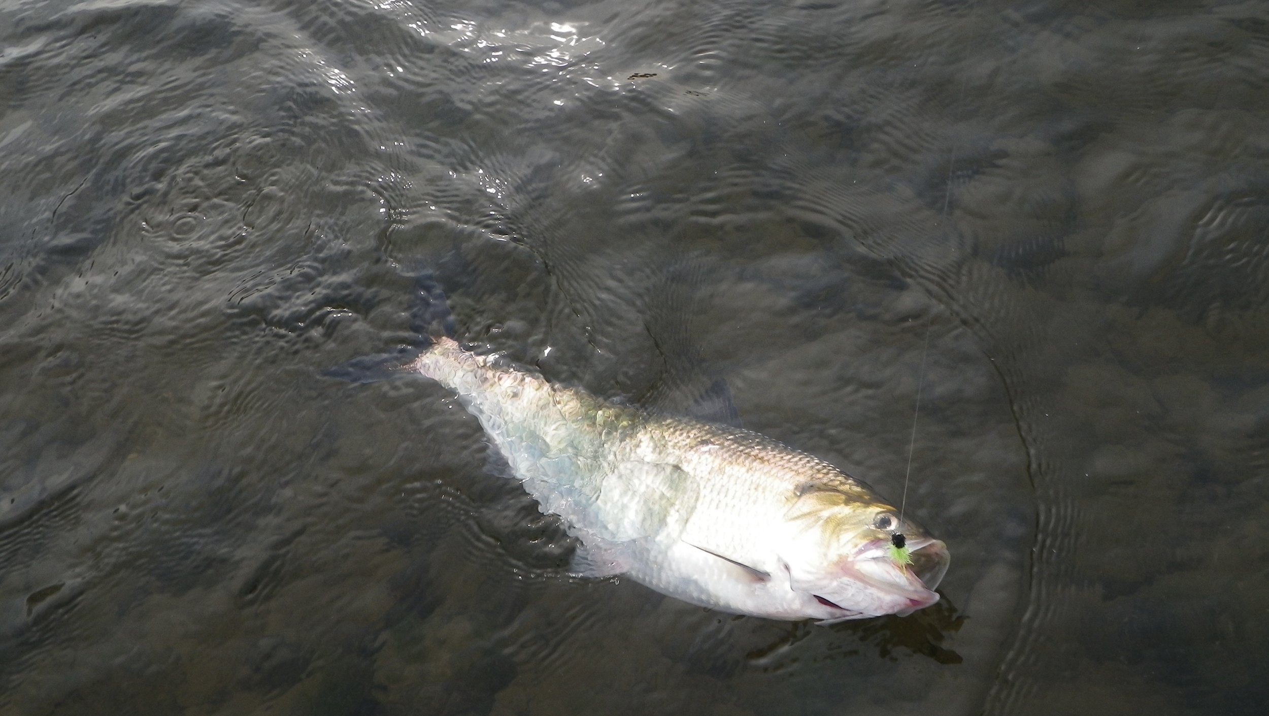 An early season shad in prime condition.