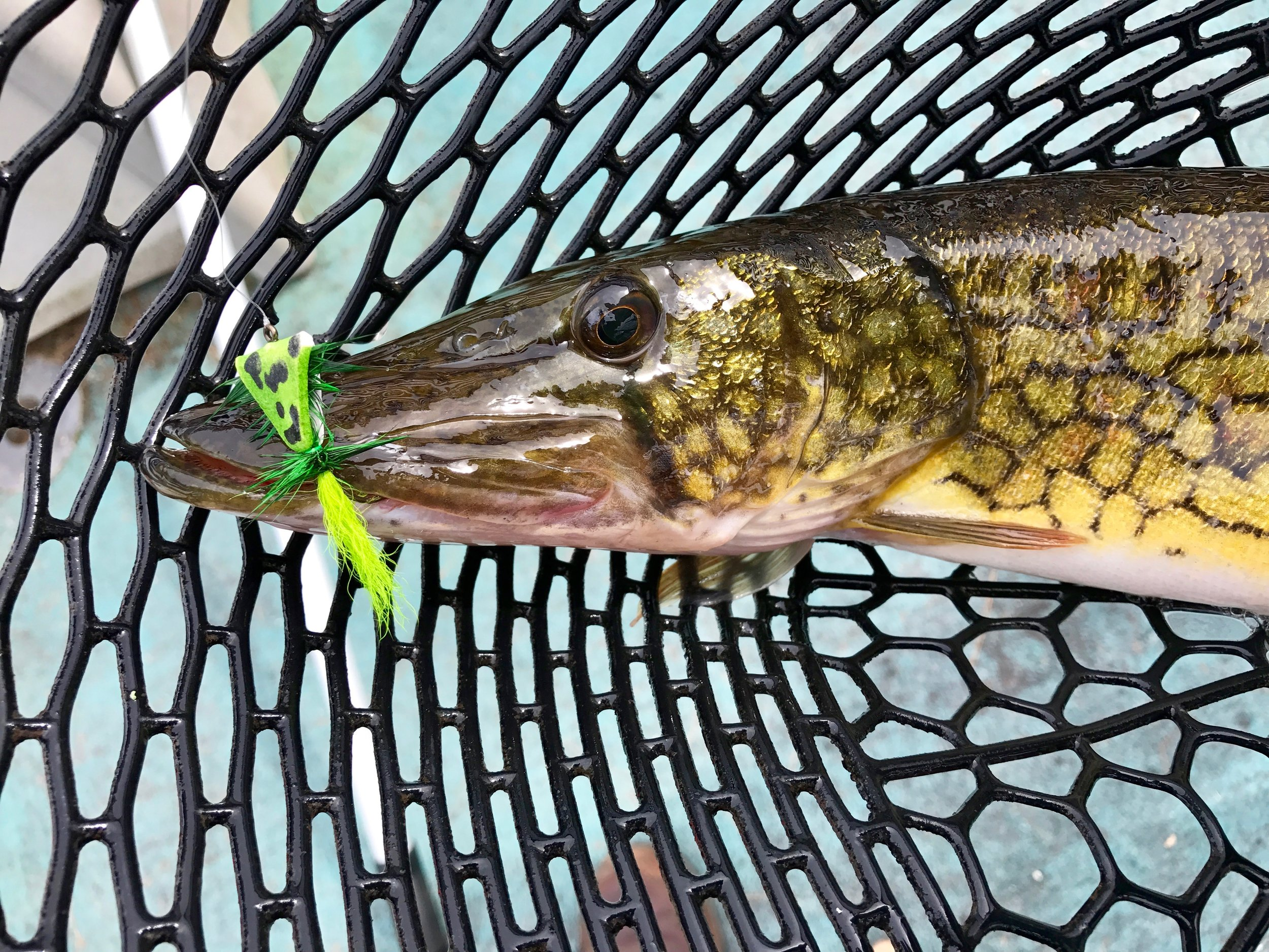 Top water flies are my favorite with these fish!