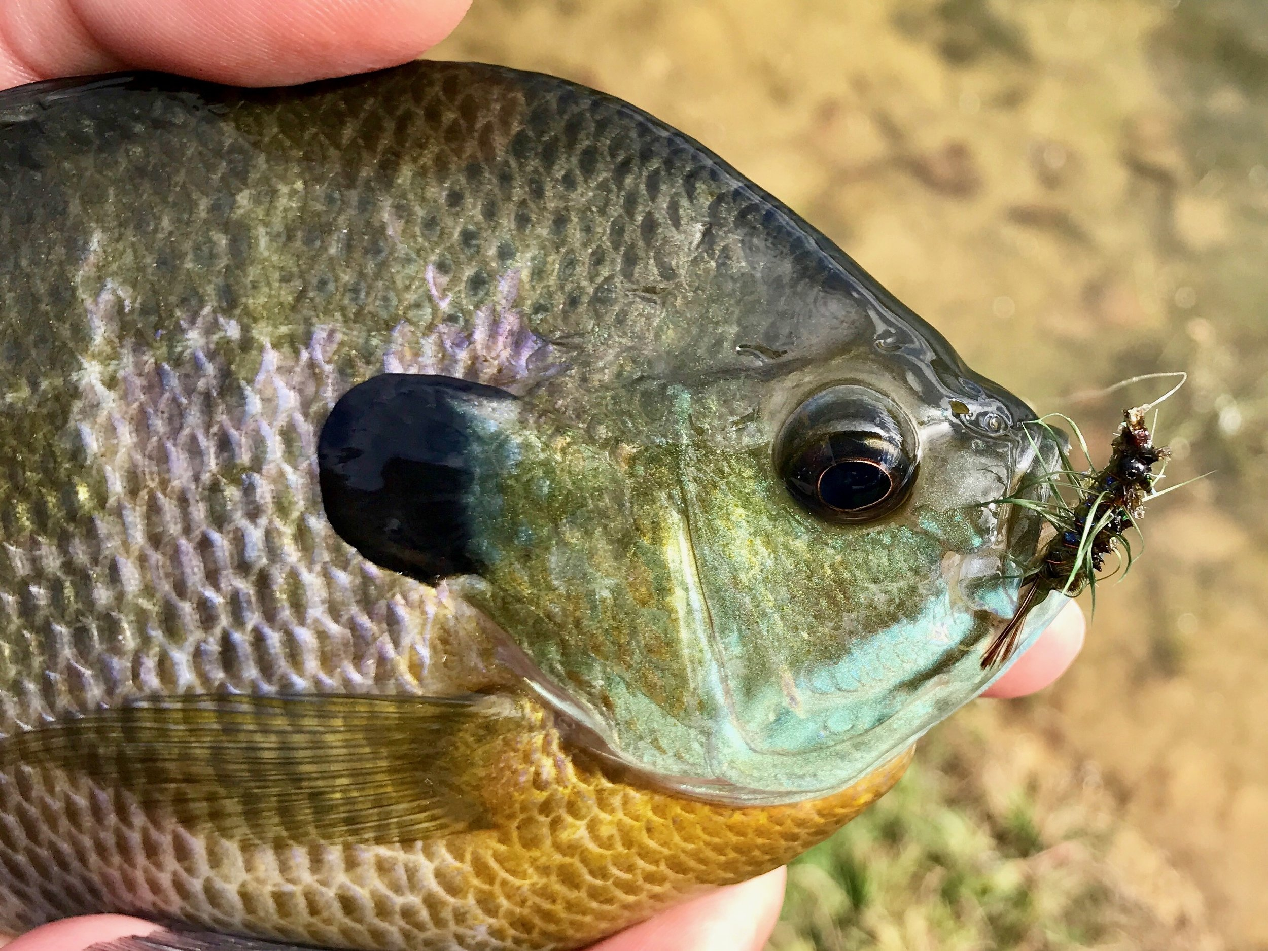 Bluegills and other panfish can't resist this pattern!