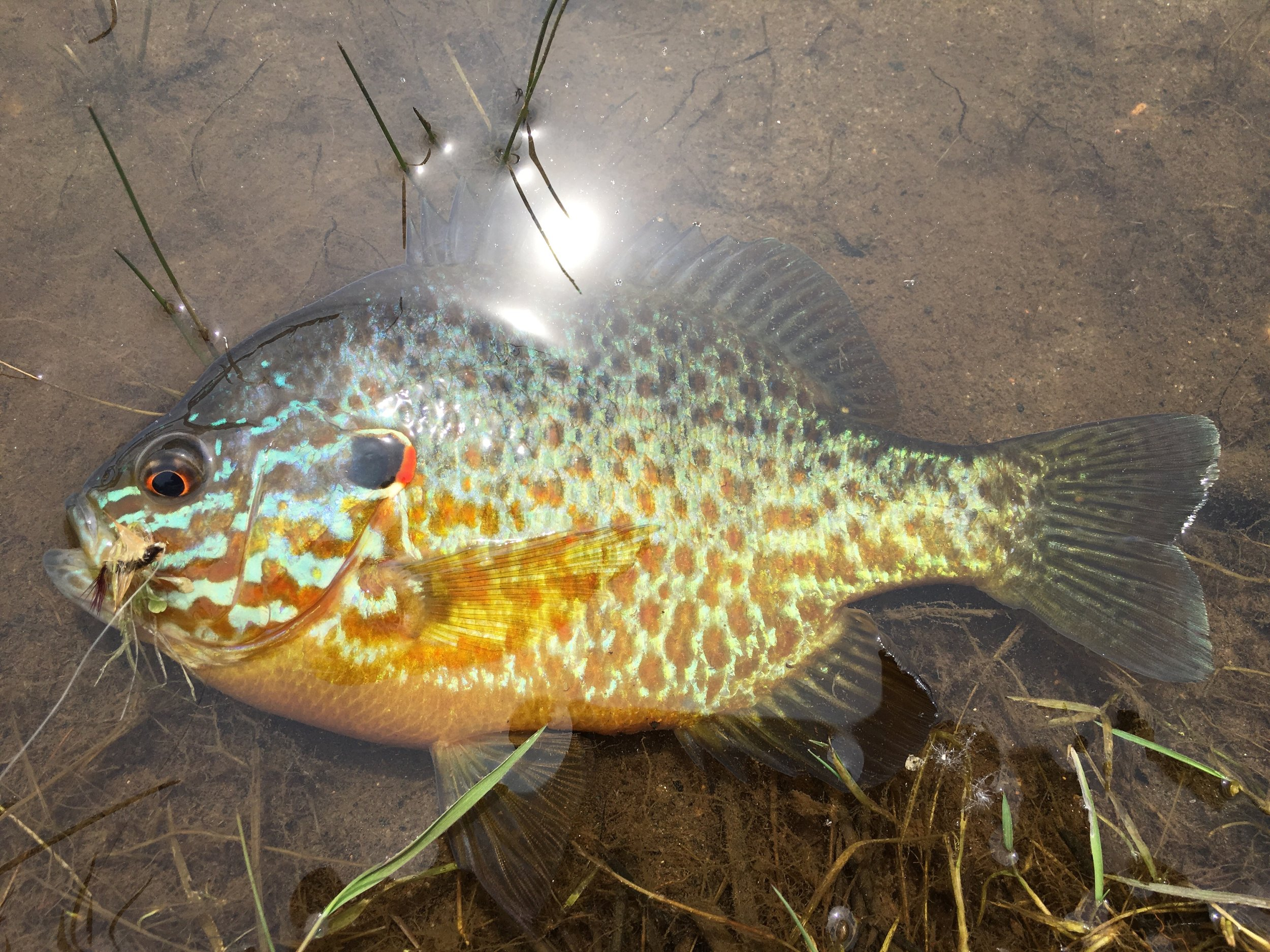 A fine example of a mature pumpkinseed.
