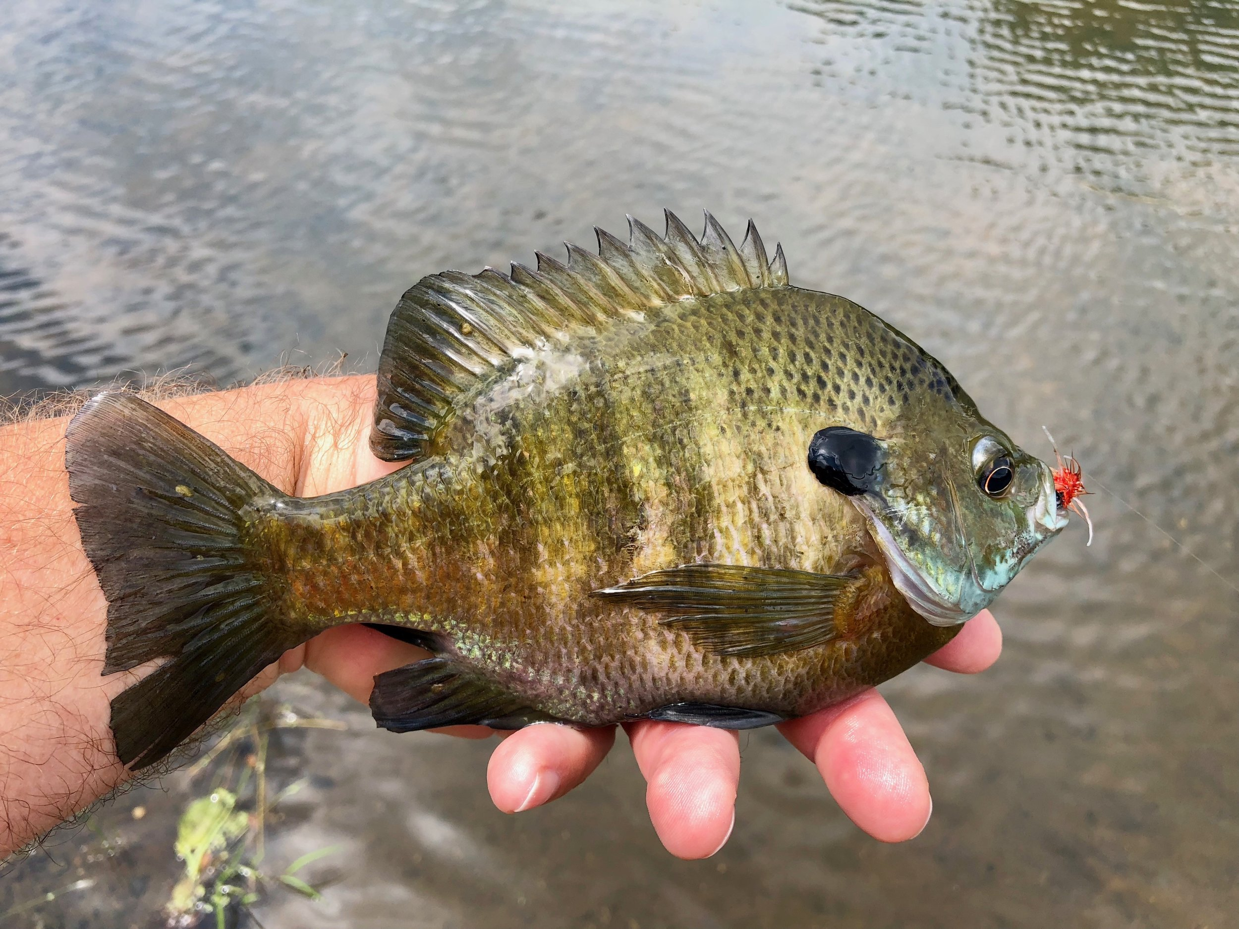 Larger panfish have no problem taking this large nymph pattern. The larger size will keep the runts at bay.