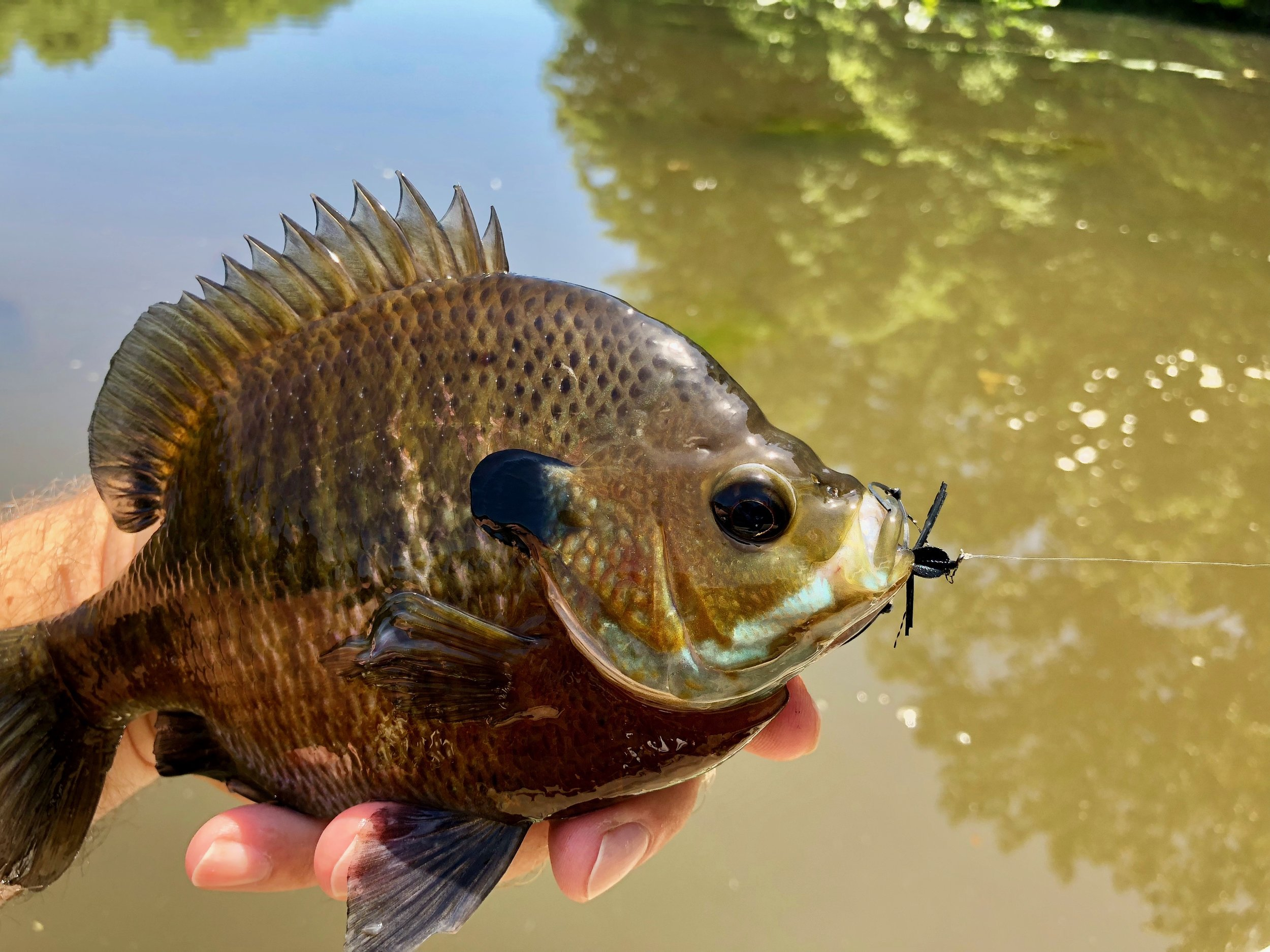 Another good sized blugill with a mouthful of ugly