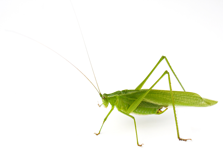 A typical Katydid. Not traditional fish food but they apparently find there way into the water from time to time.
