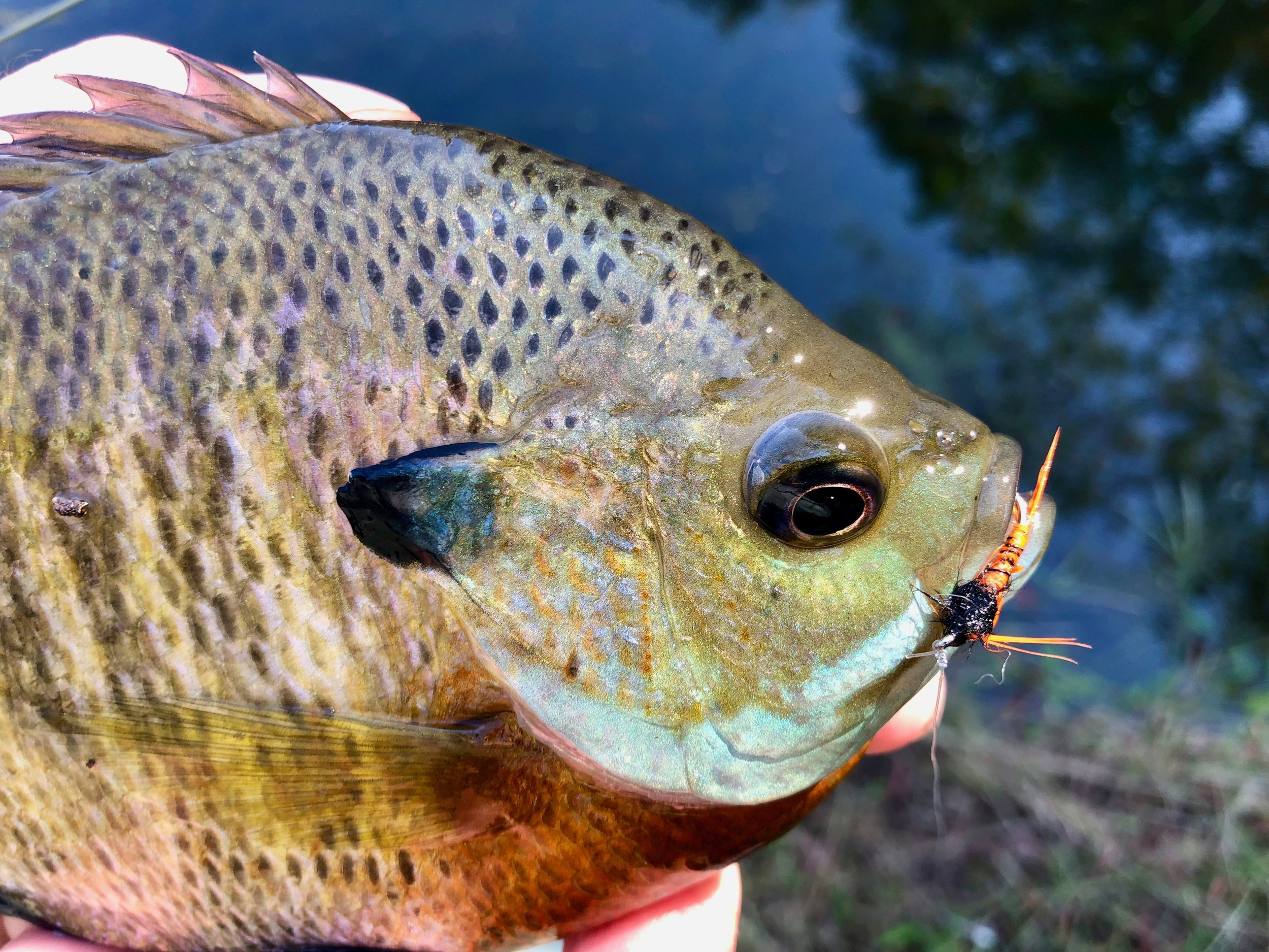 The contrasting colors of the Panfish Pheasant Tail are very attractive to bluegills and other sunfish.