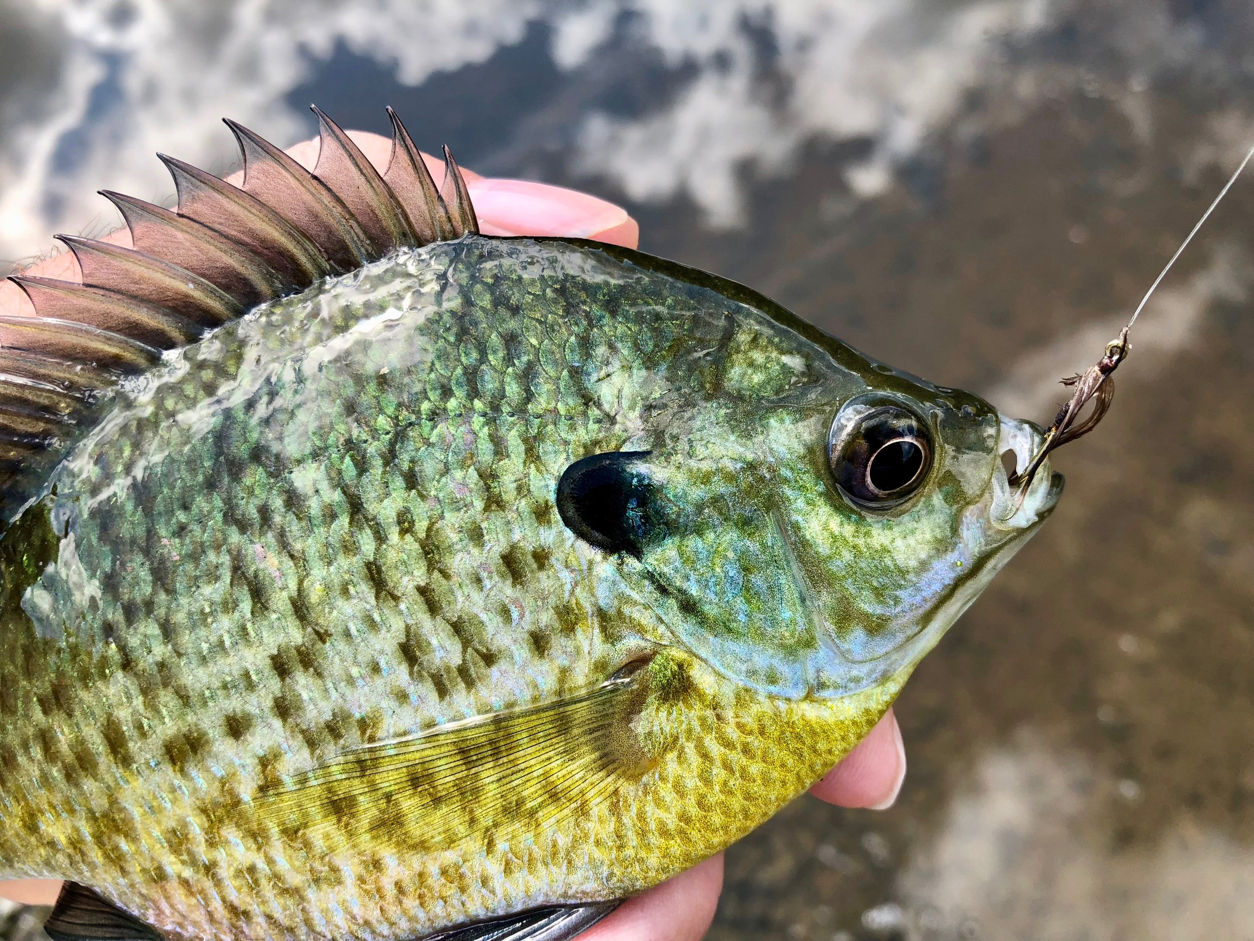 A small but brightly colored bluegill that could not resist the One Feather Wet Fly.