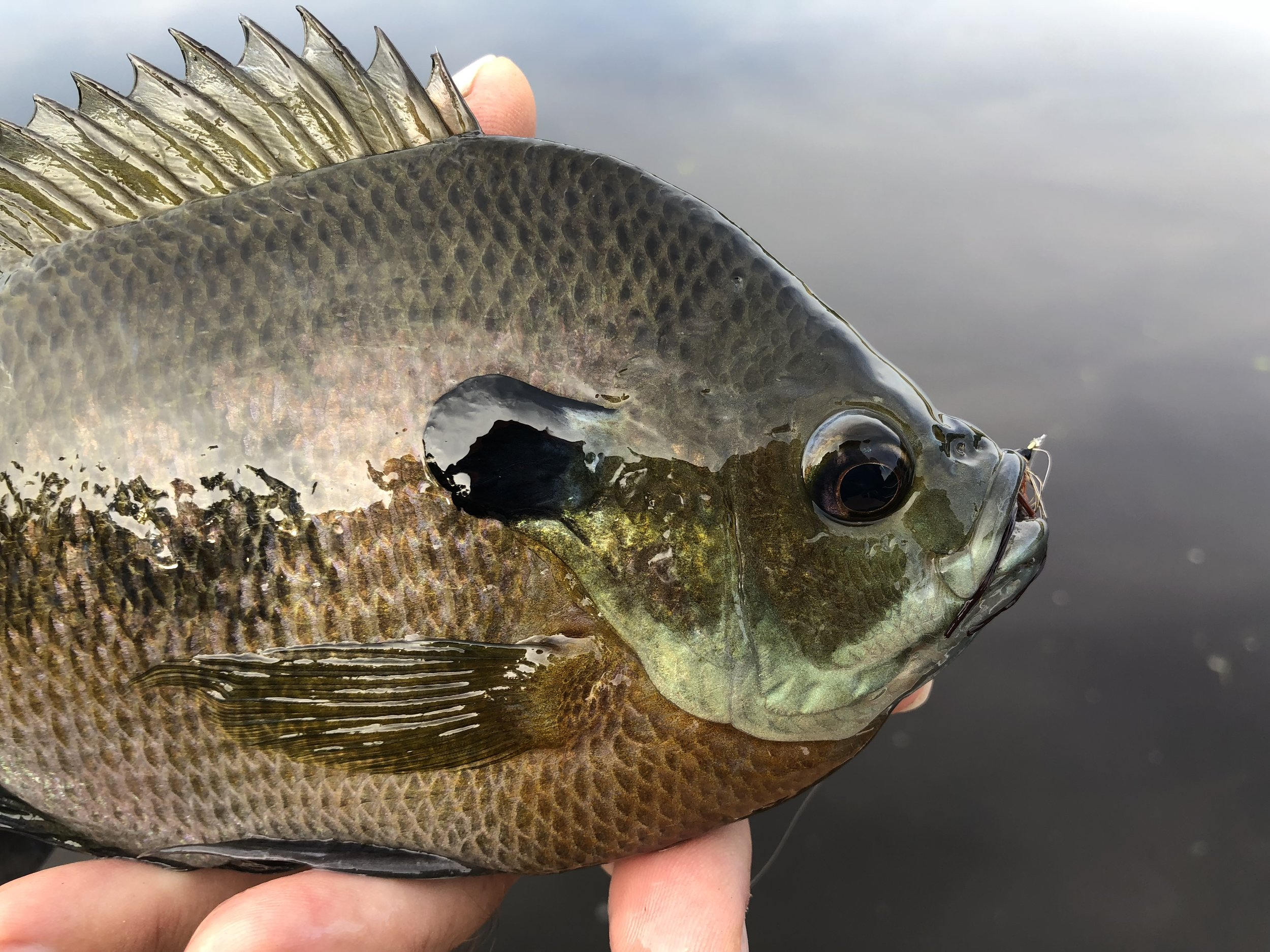 This bluegill had no problem taking a large, size 6 One Feather Wet Fly!