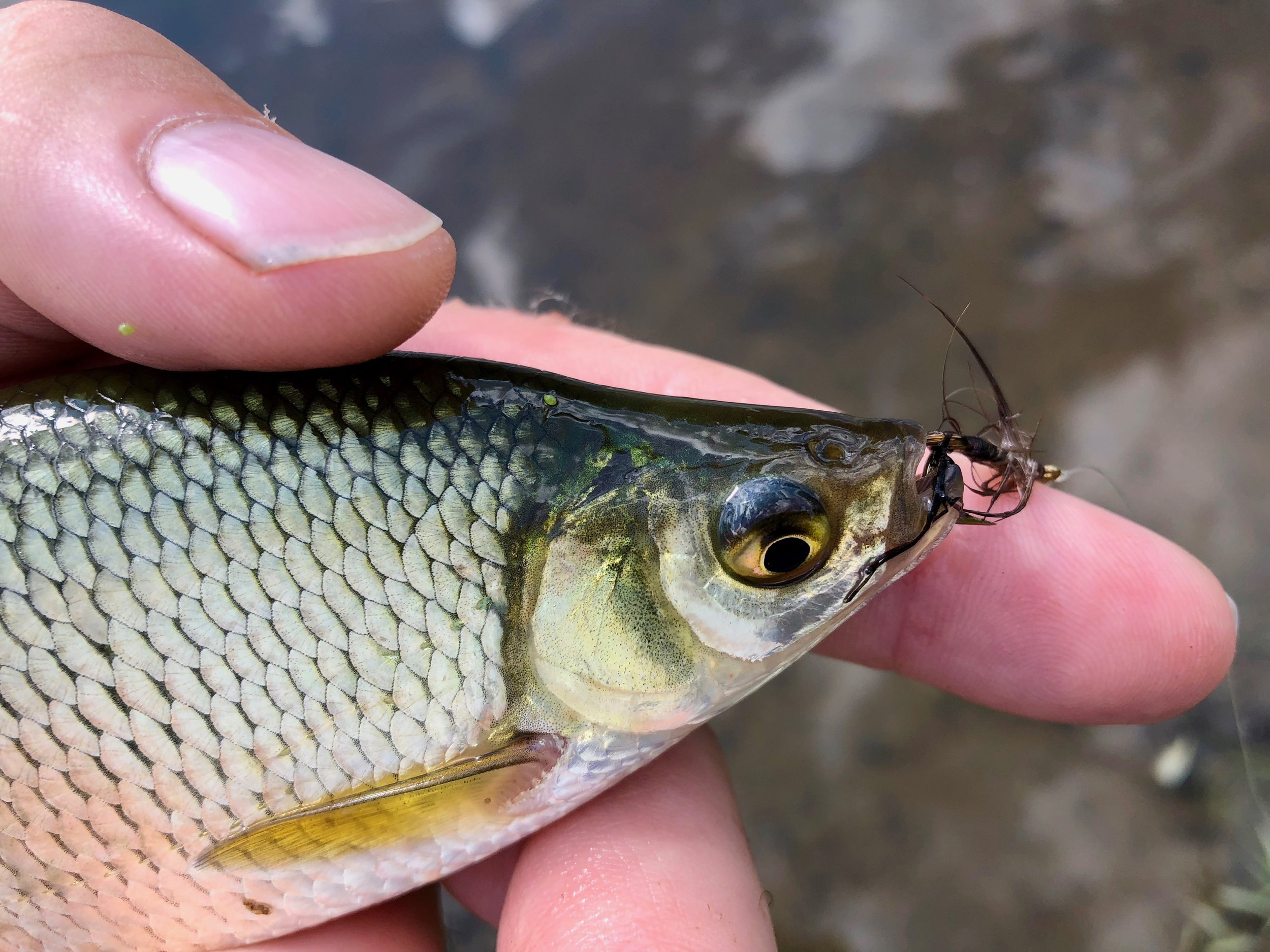 Even golden shiners take a shine to this pattern!