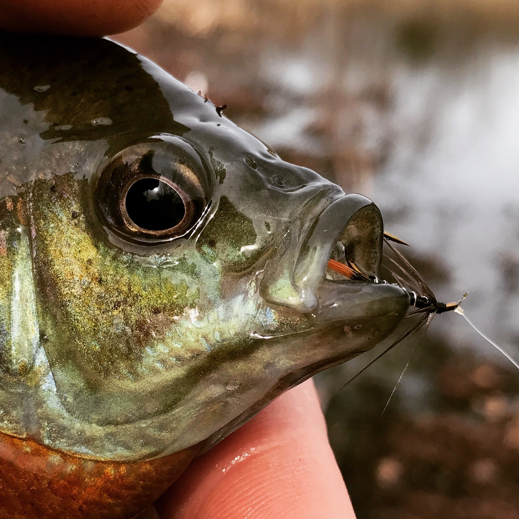 Wet flies fished on sinking or intermediate lines are my favorite way to target cold water panfish.