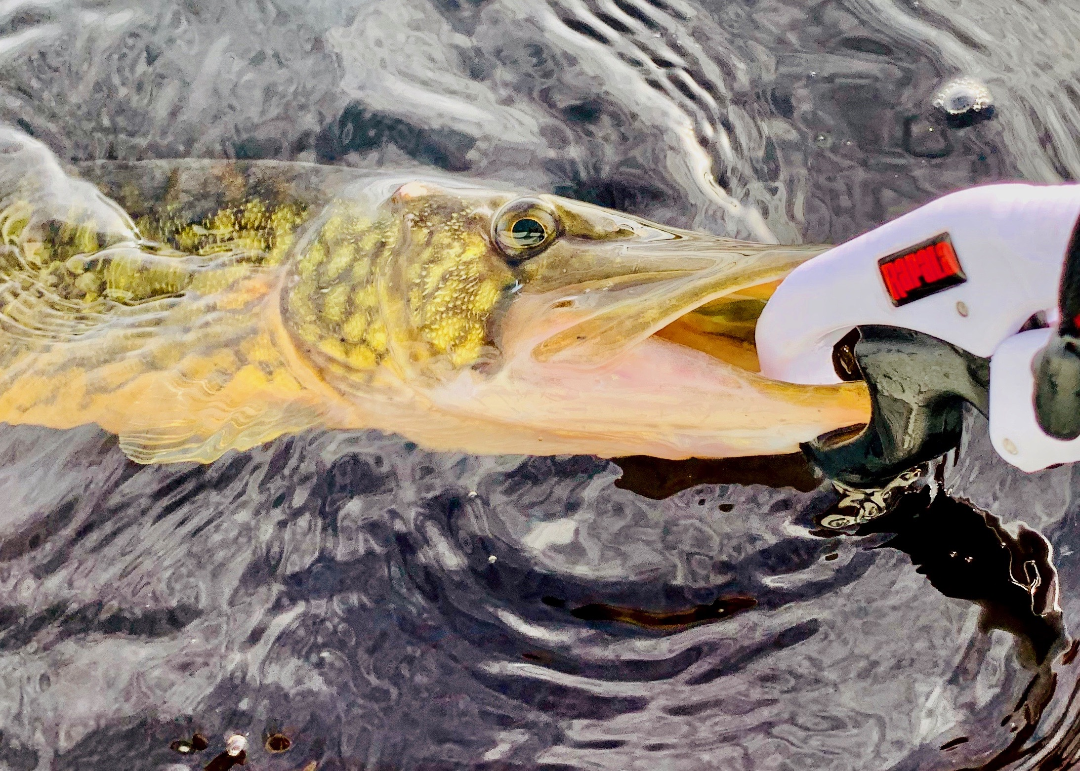 The use of fish grips will protect you from the pickerel's sharp teeth and makes the un-hooking procedure easier on the fish.