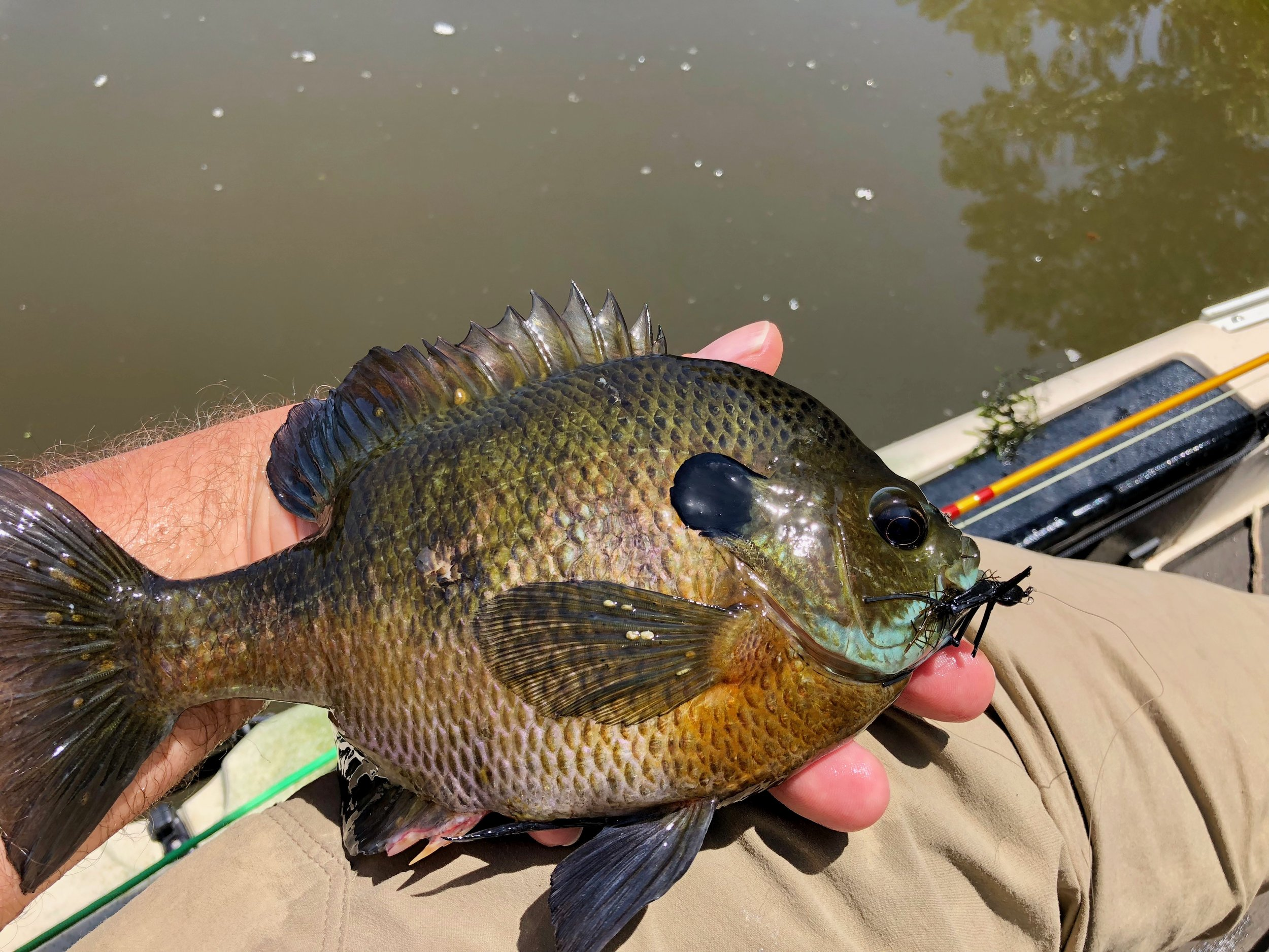 While it is possible to catch large panfish on the surface, you will enjoy more success fishing below it. Fish early or late in the day if you want to catch big bluegills on the surface.