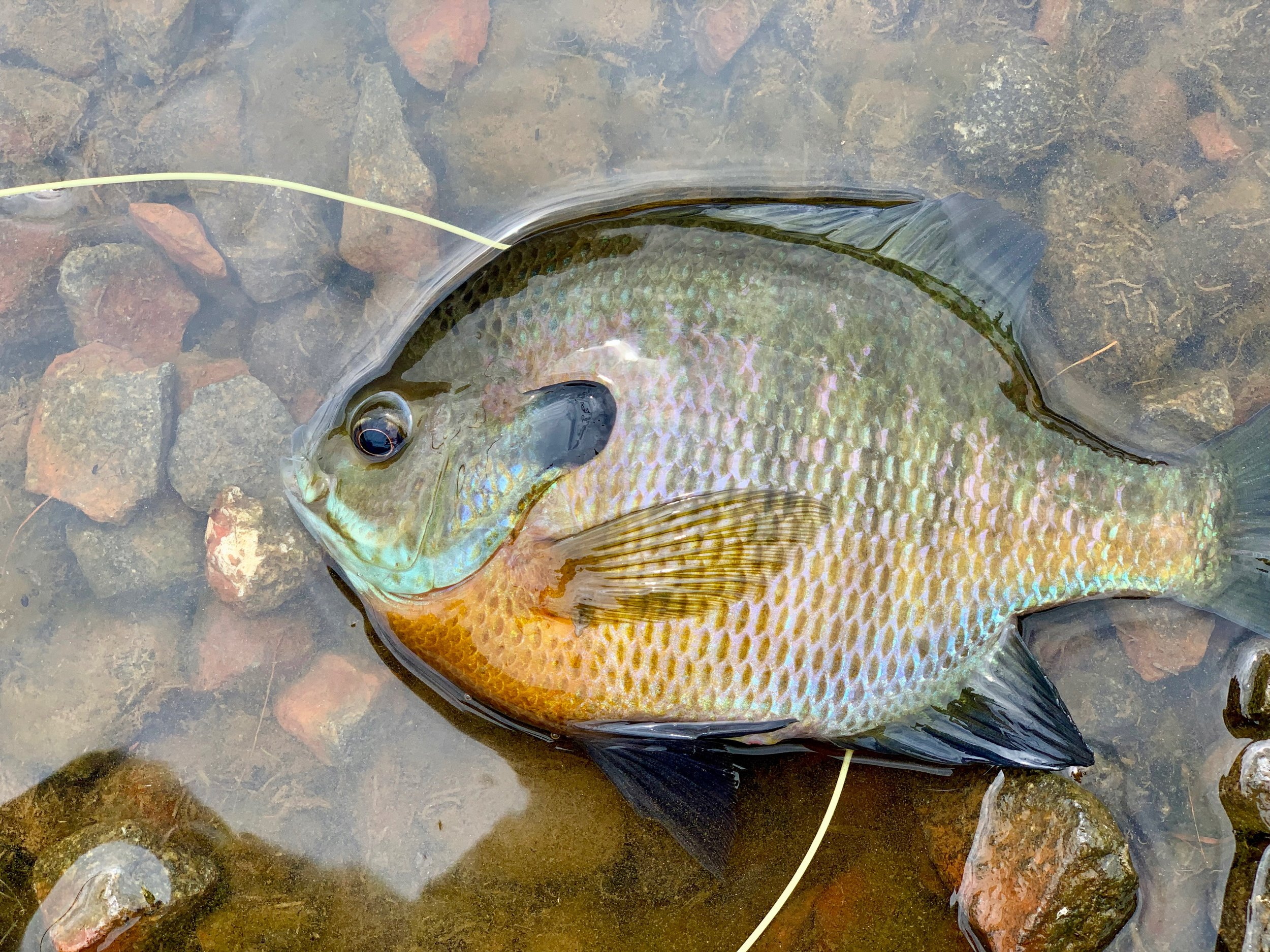 Though small panfish are often easy to catch, larger specimens like this fine bluegill are a different story once the spawning season is over!