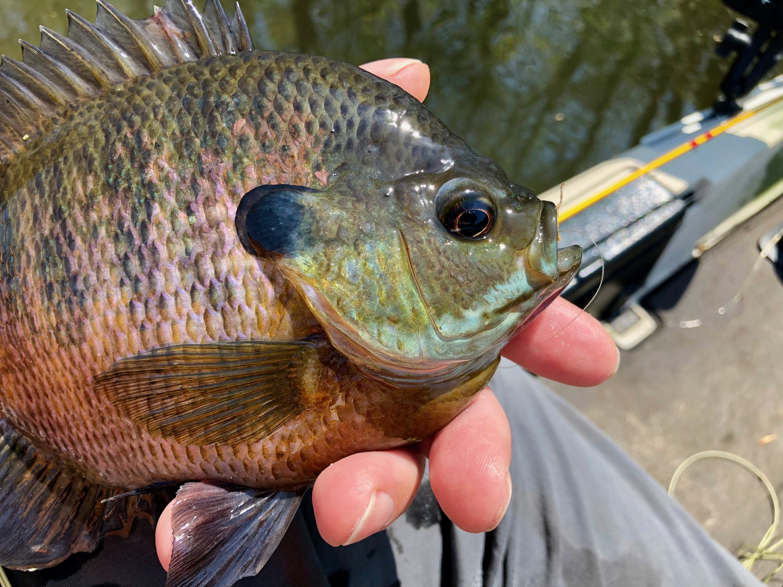 Despite their small mouths larger bluegills can take surprising large flies. This fish fully engulfed a size six streamer!