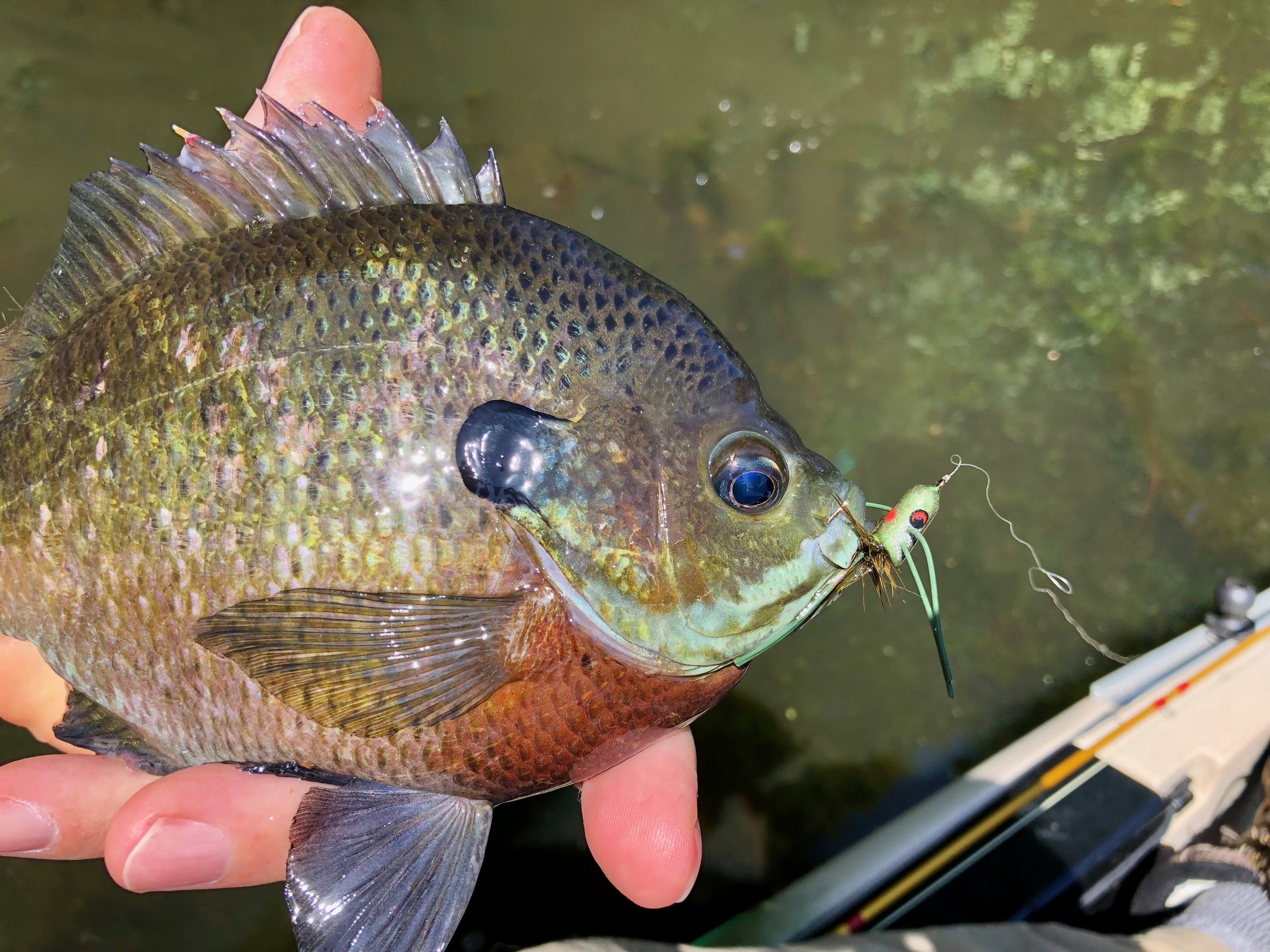 A slider style popper is a great choice when fish are a little spooky and may react negatively to a loud cup faced popper.
