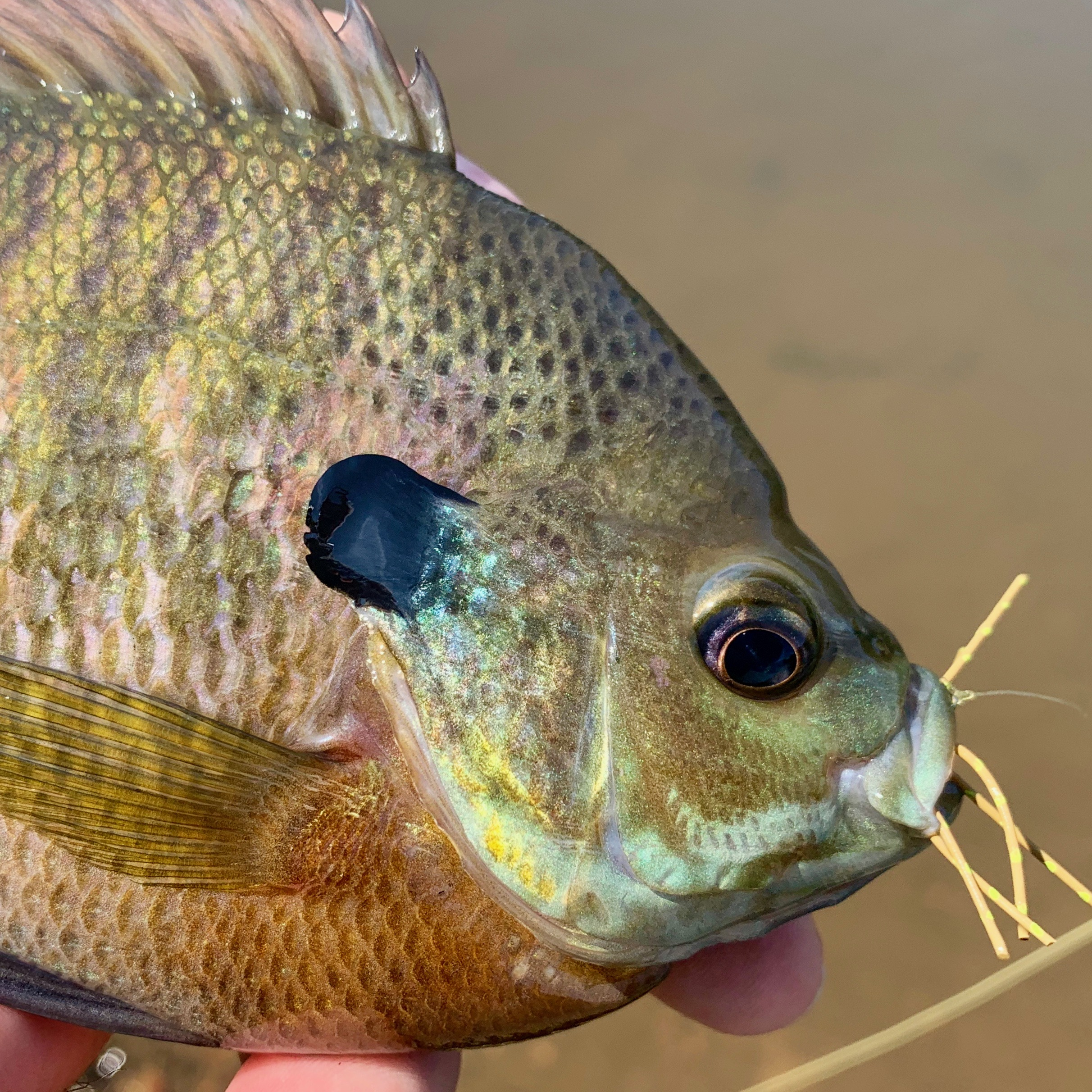 This chunky bluegill had no problem inhaling a large Bream Killer