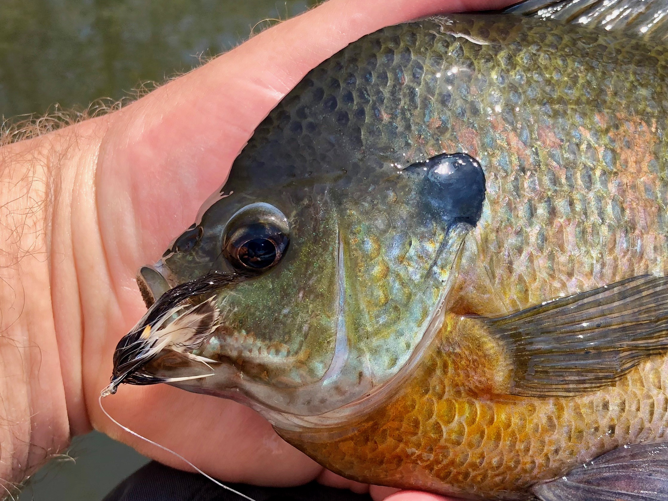 Large bluegills will take small streamers with gusto!
