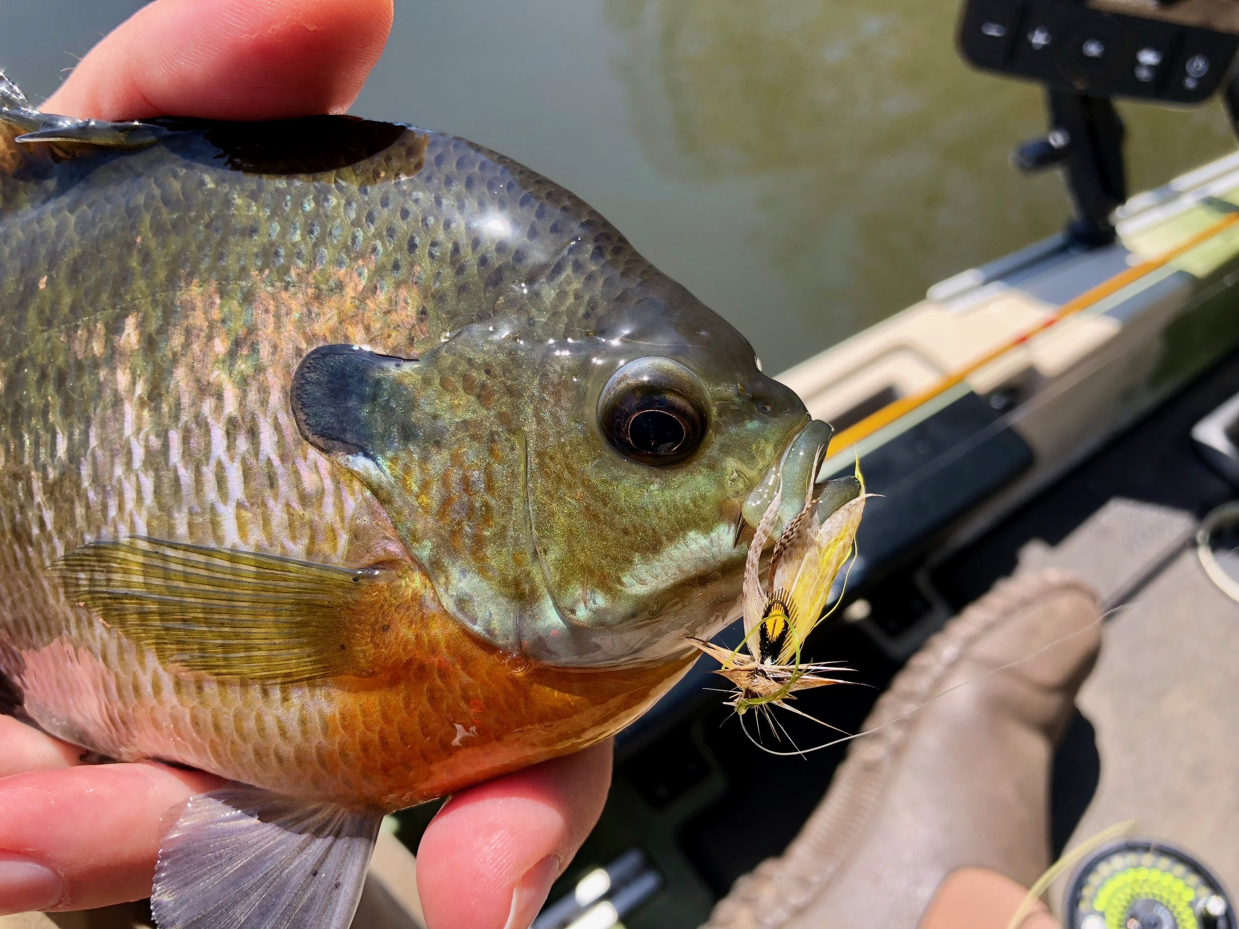 Streamer patterns are deadly for large panfish, especially in the fall when there are large numbers of young of the year fish present.