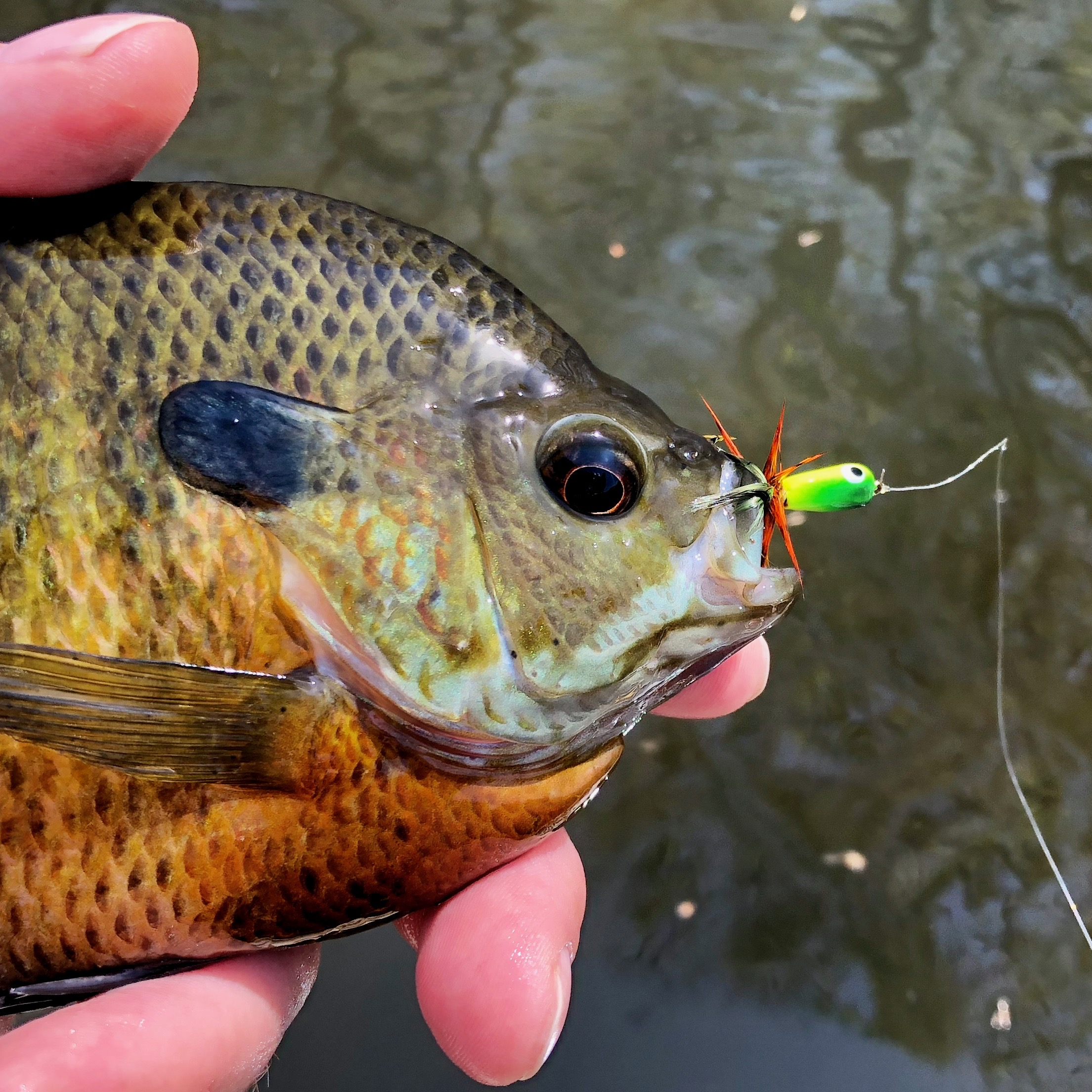 The Gum Drop Slider is irresistible to bluegills and other panfish!