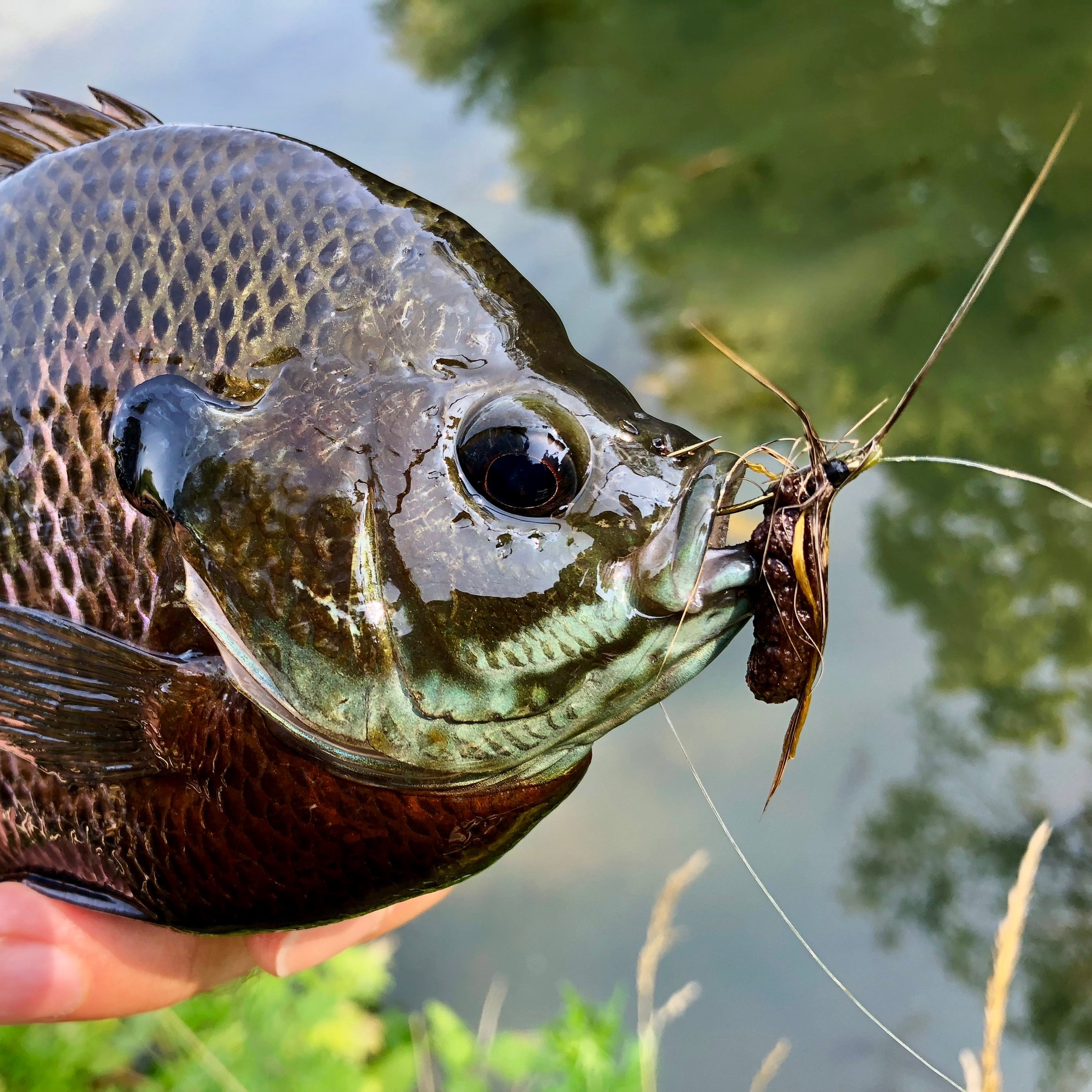 The Creature is also good choice for jumbo panfish. It is a mouthful for all but the largest fish.