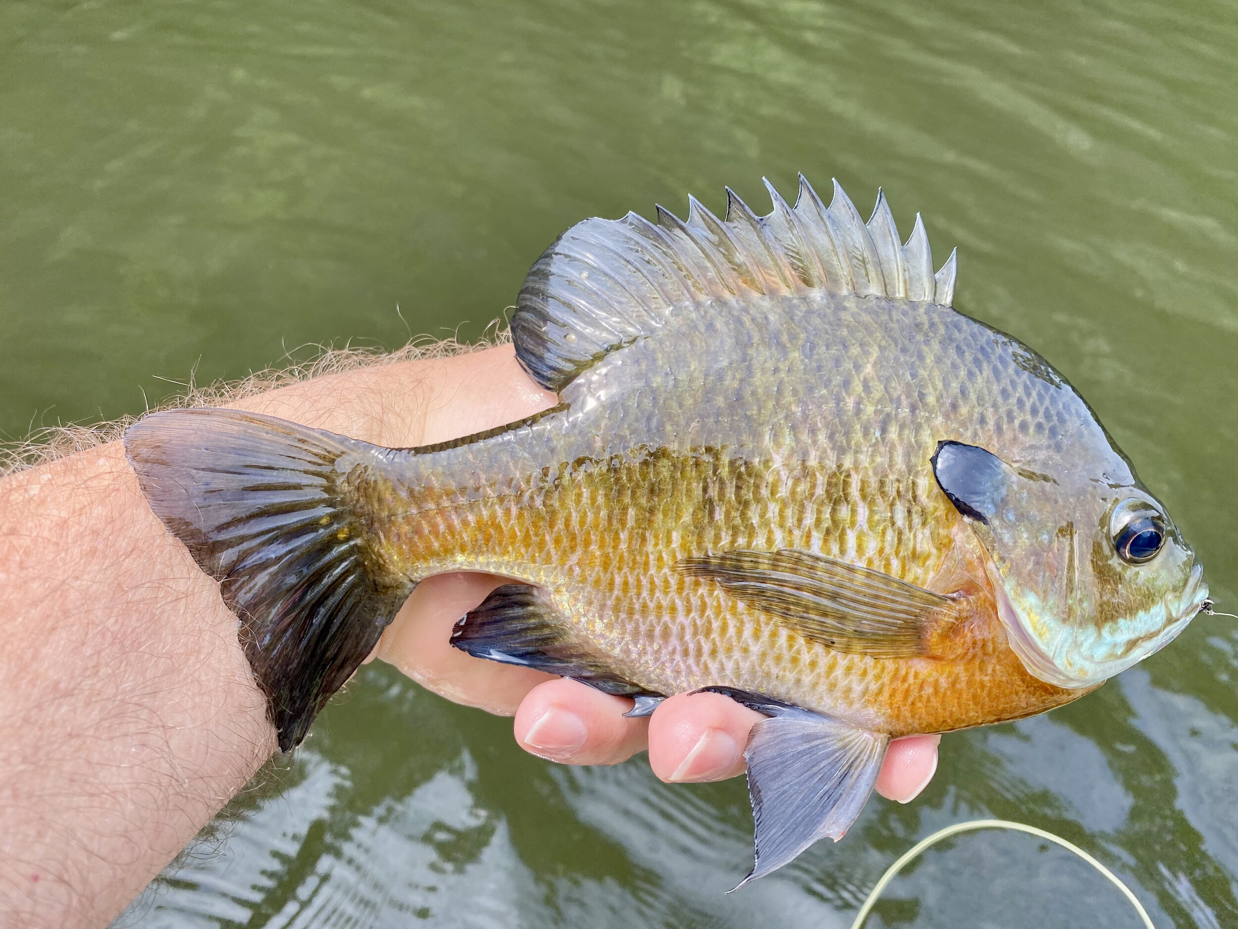 Big bluegills love beetle patterns but they will often inspect them for a while before committing.  Fish your beetle with long pauses and don't move the fly too much.  Fishing a beetle pattern can be painfully slow.
