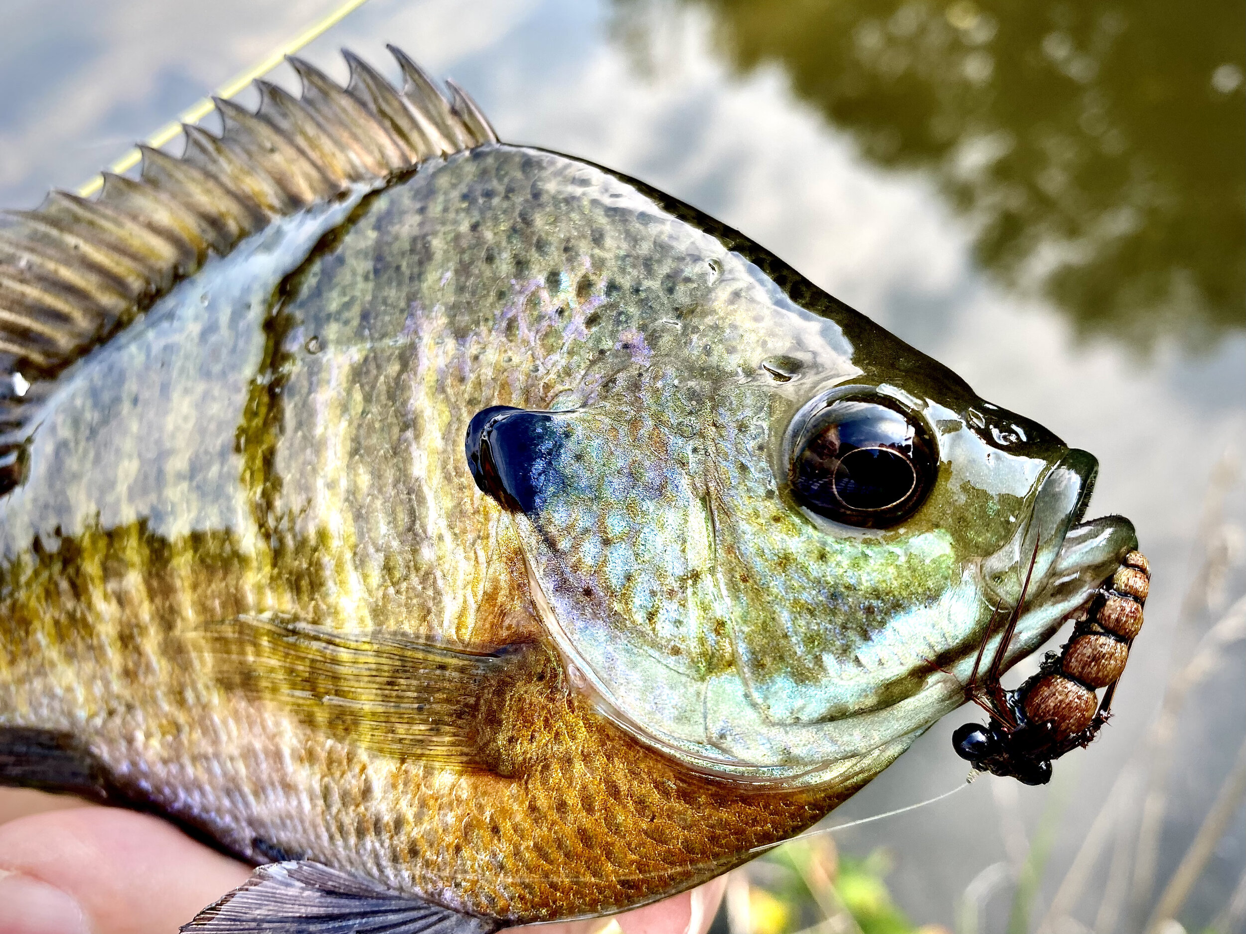 Floating nymph patterns fished on sinking lines can be an effective way to catch panfish holding in deep water.