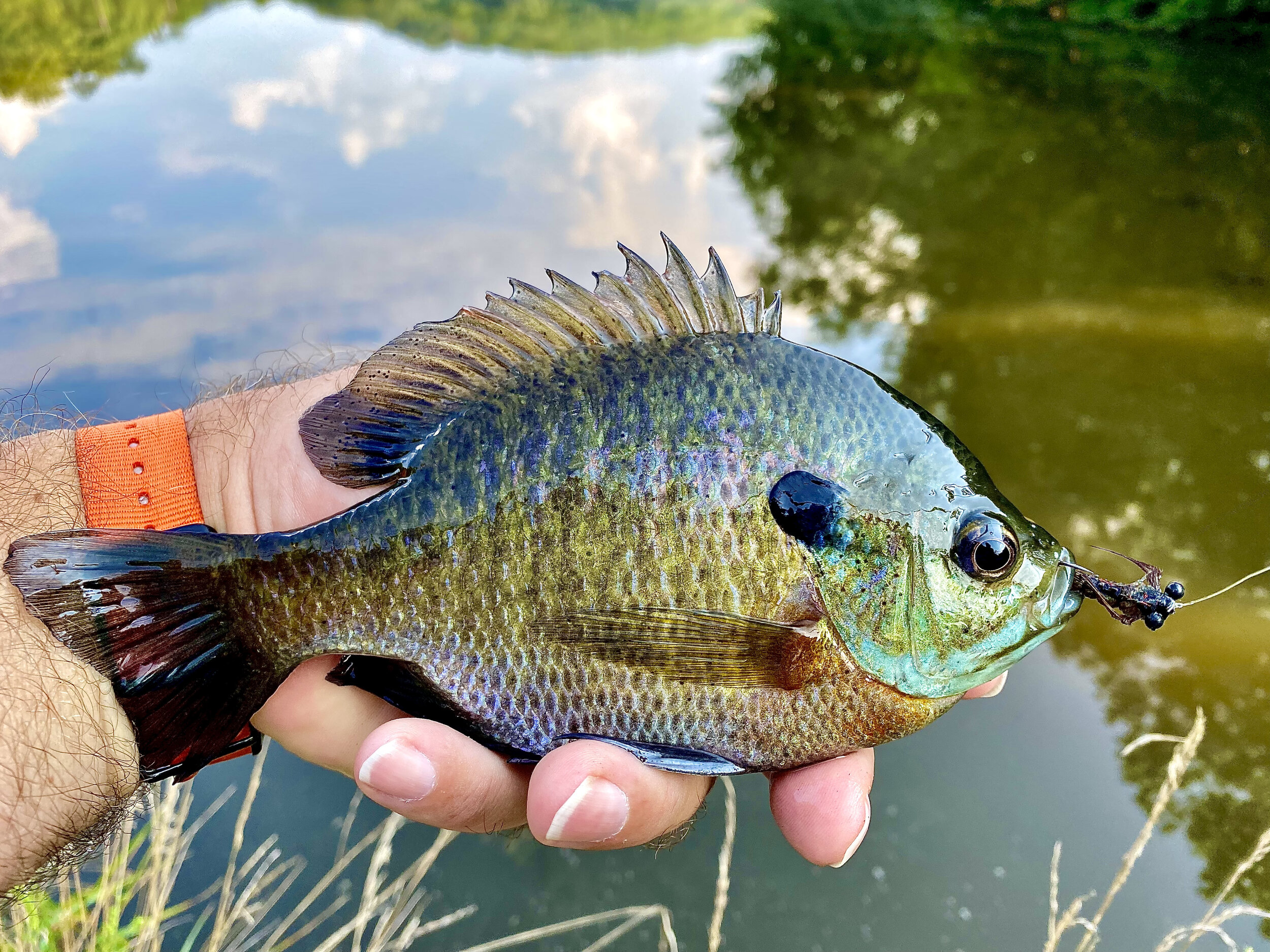 Fished above sunken weed beds, or along side one as the case here, a deeply fished floating nymph pattern can produce great mid-day fishing during the height of summer.