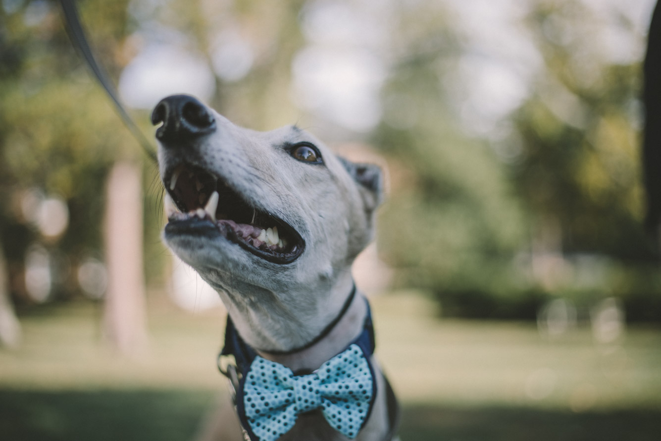 wedding dog bowtie.jpg
