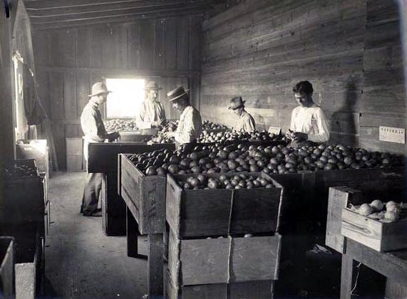 Citrus sorting in 1910