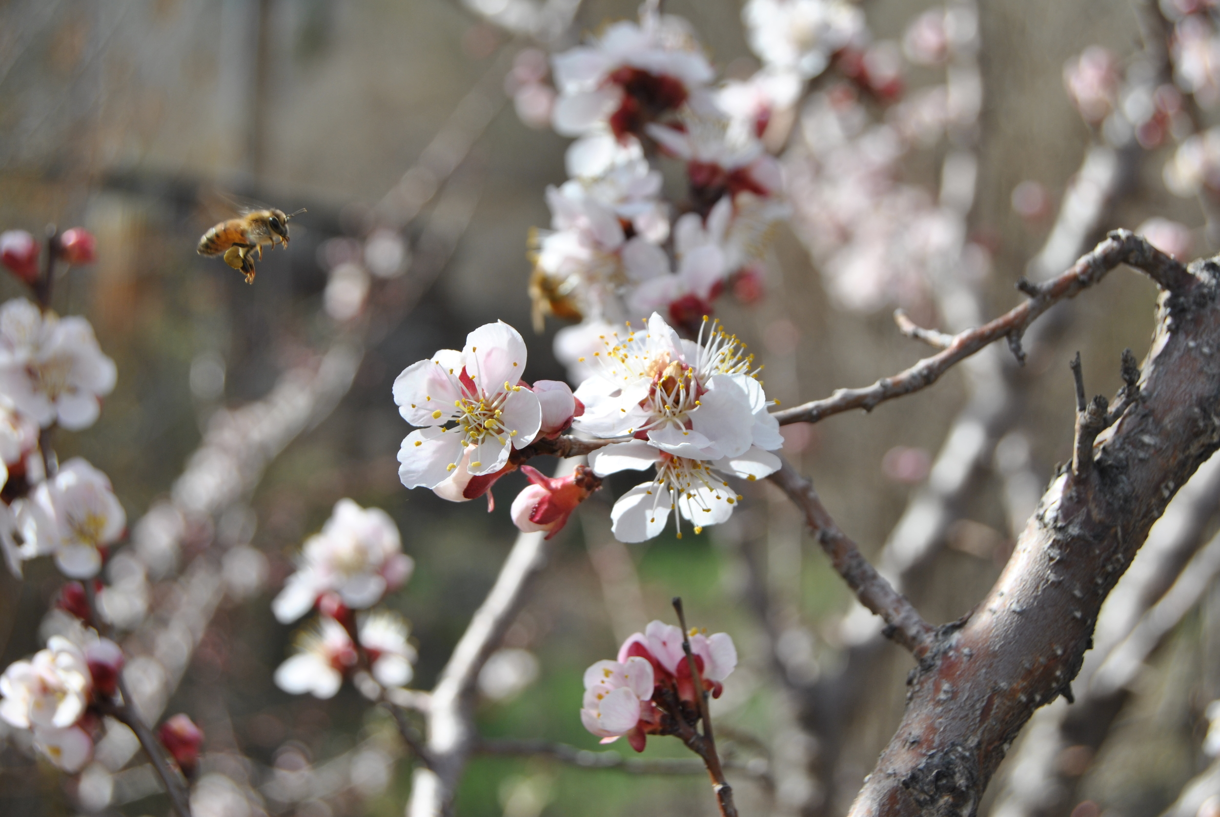 APRICOT BLOSSOMS  A honey bee on its way to collect some sweet apricot nectar.