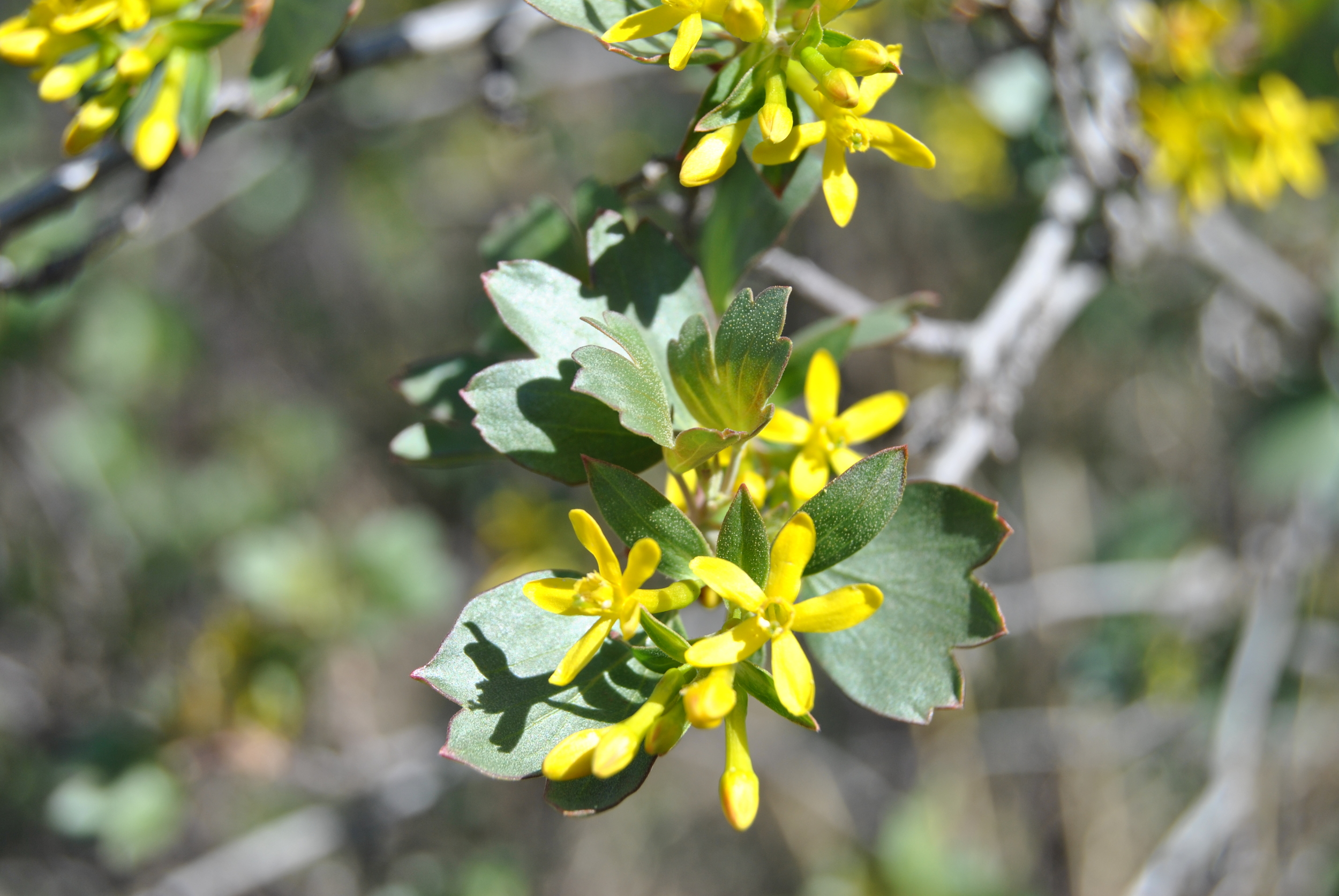 CLOVE CURRANT  Yellow blossoms the size of your pinky fingernail. Sweet scent. Pairs well in an arrangement with forsythia.